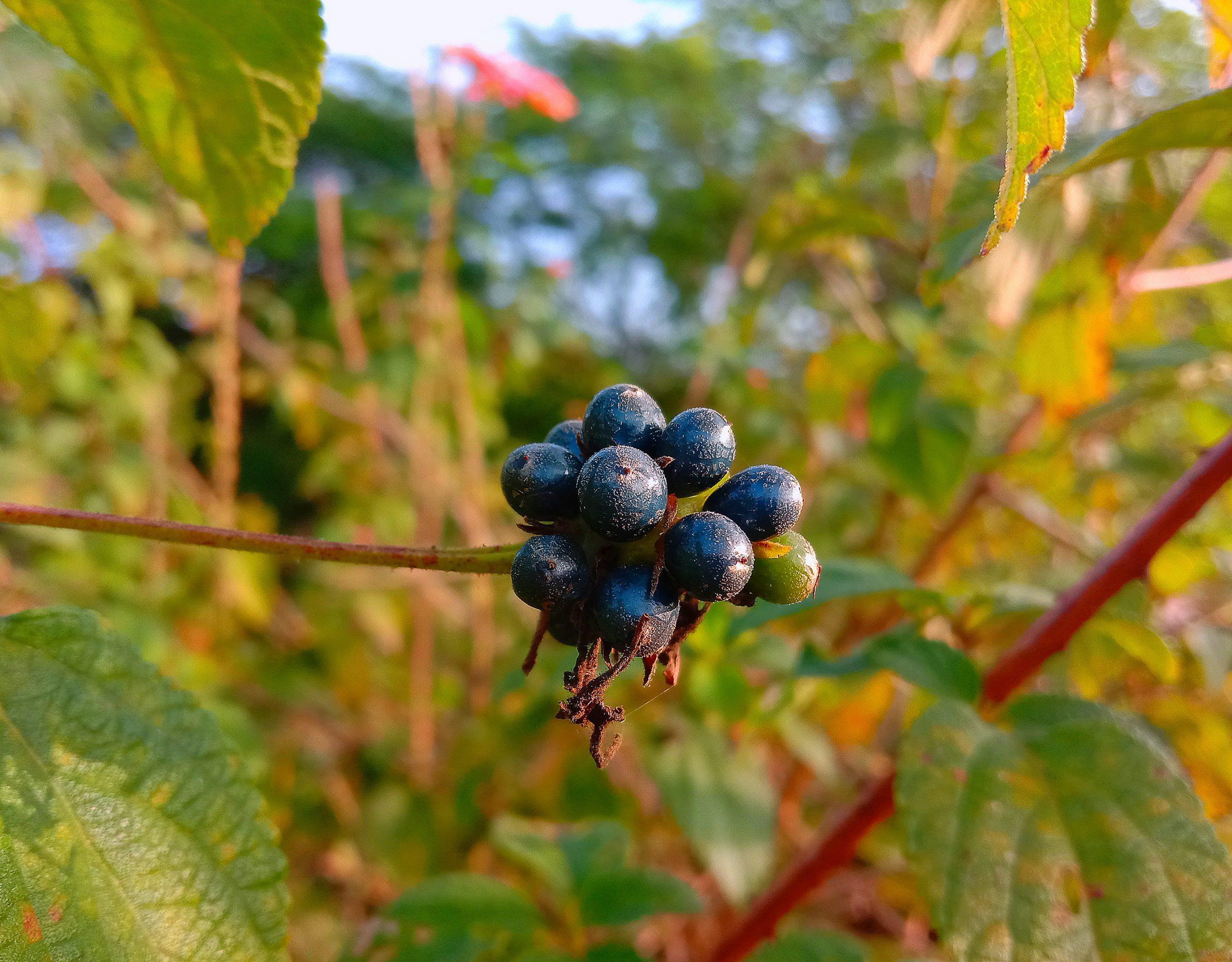 Black fruit on plant