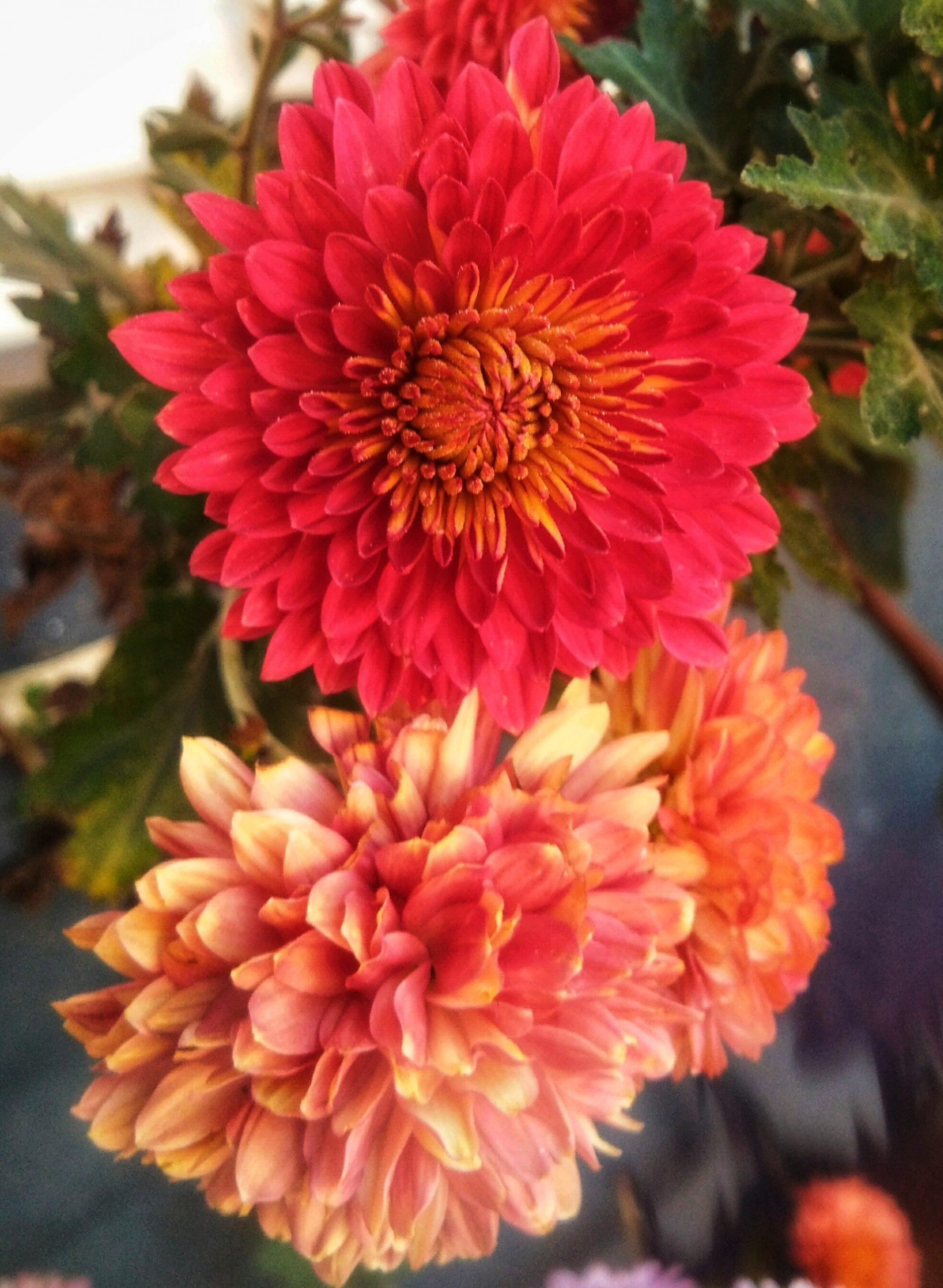 Blooming Crysanthemum flowers
