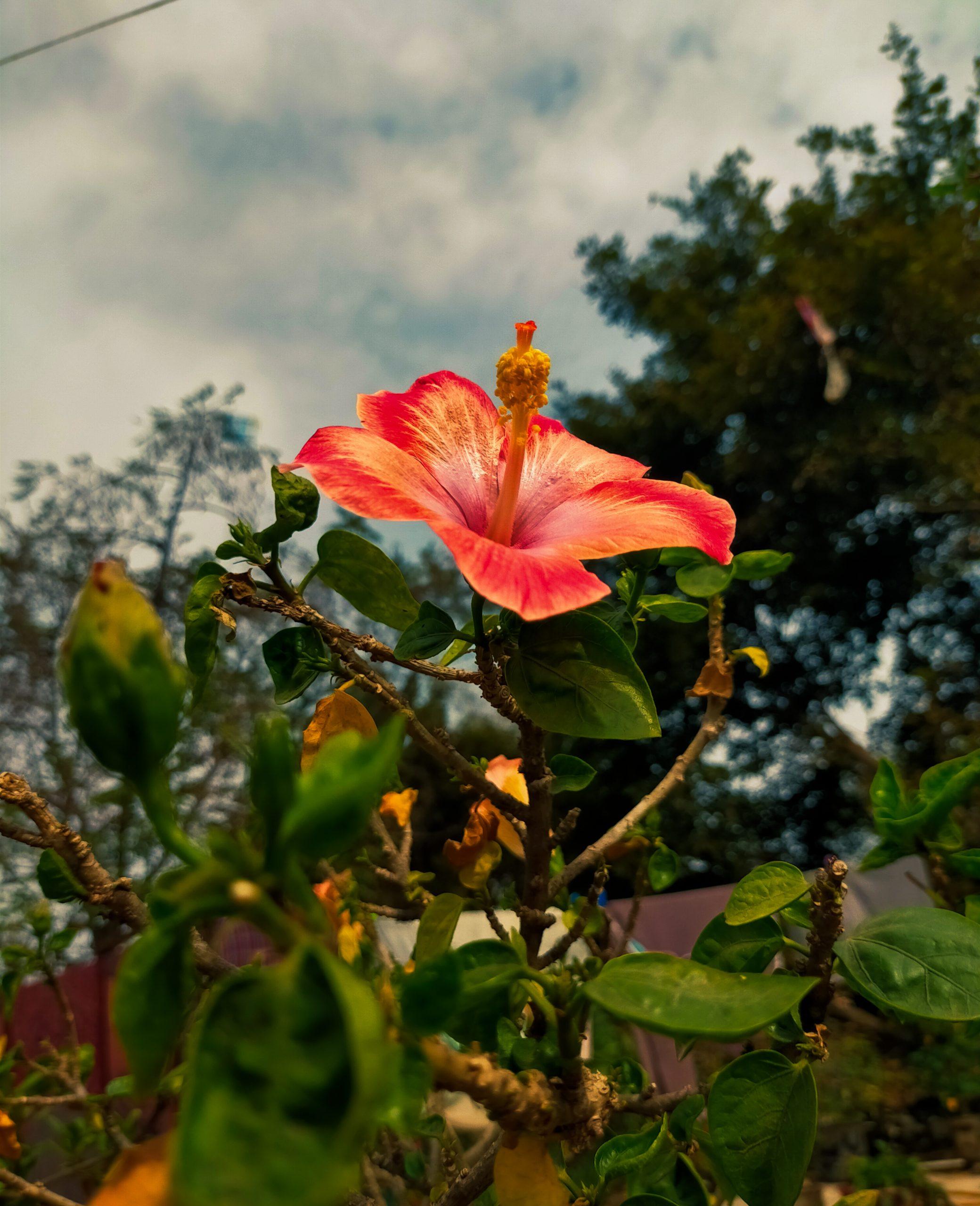 Blooming Hibiscus Flower