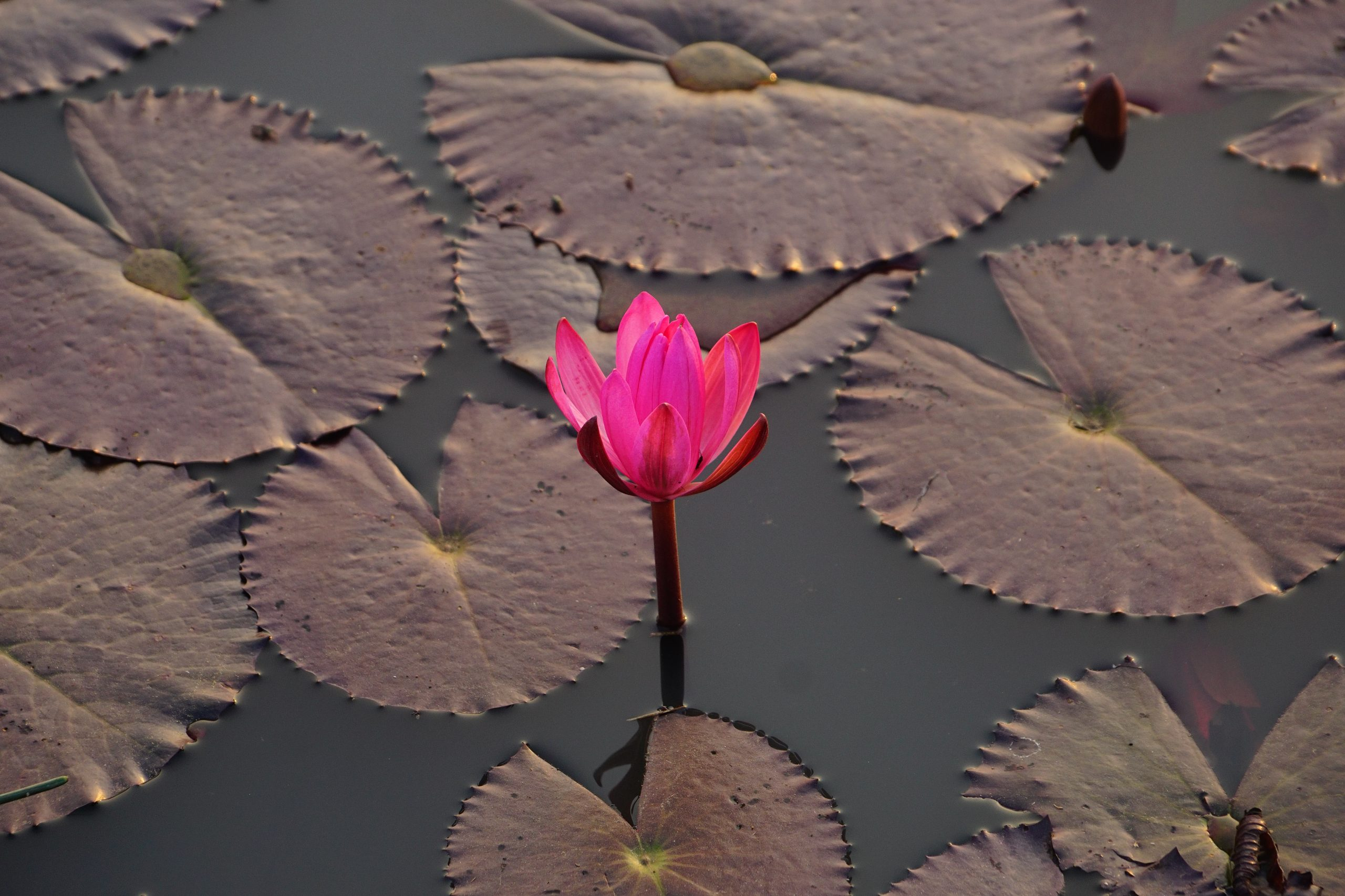 Blooming Pink Water Lily