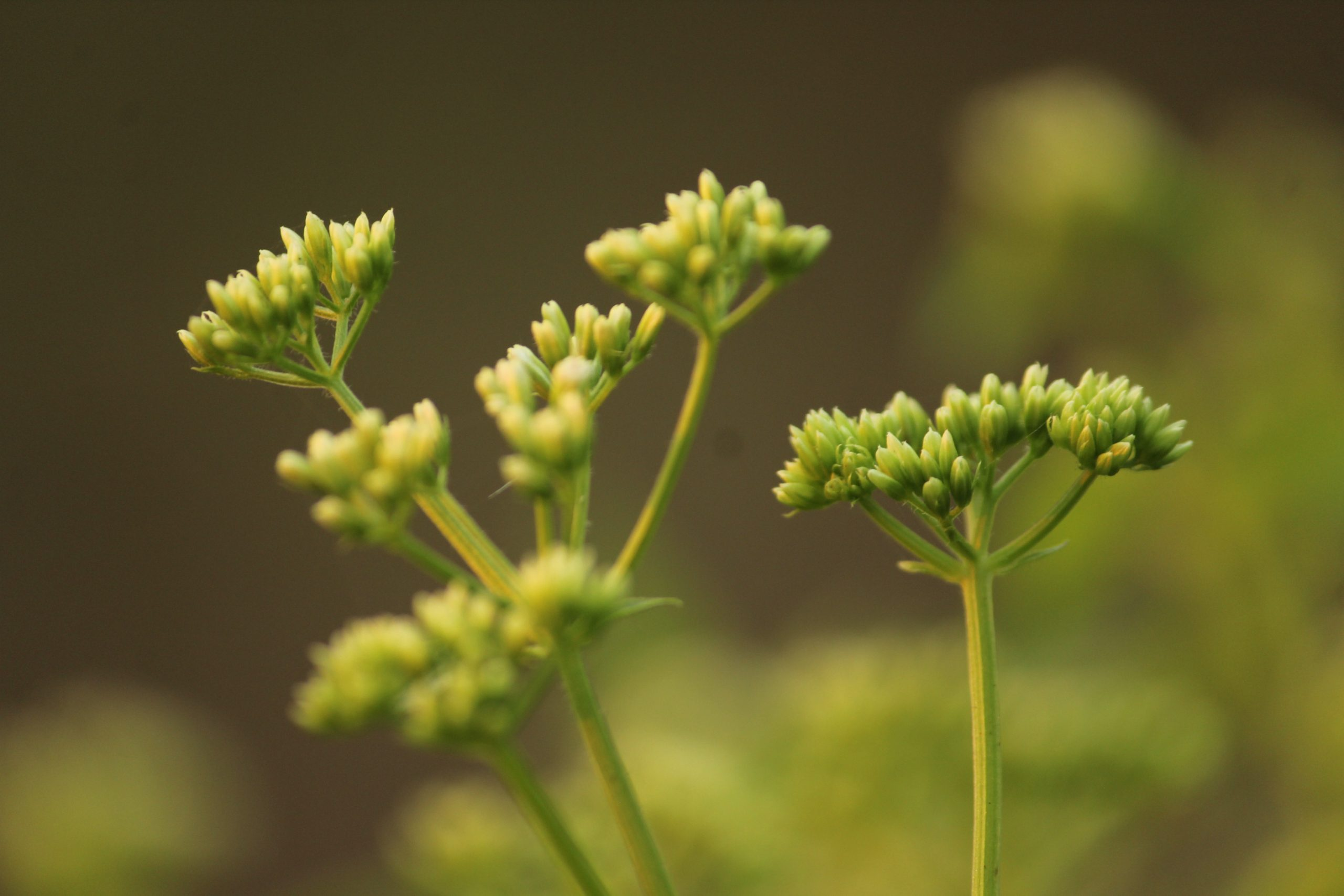 Buds of a flowering plant