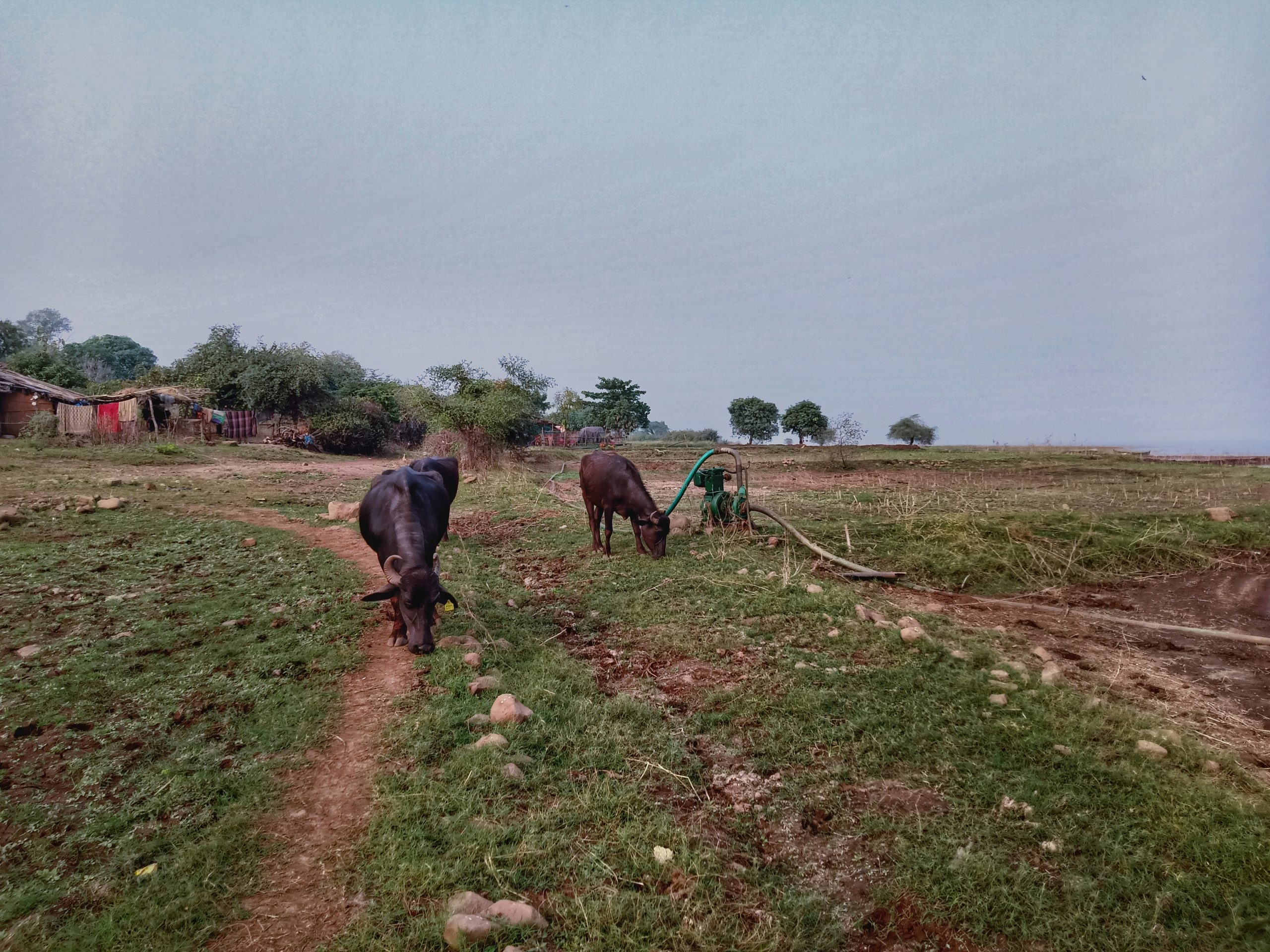 Buffaloes grazing in a village