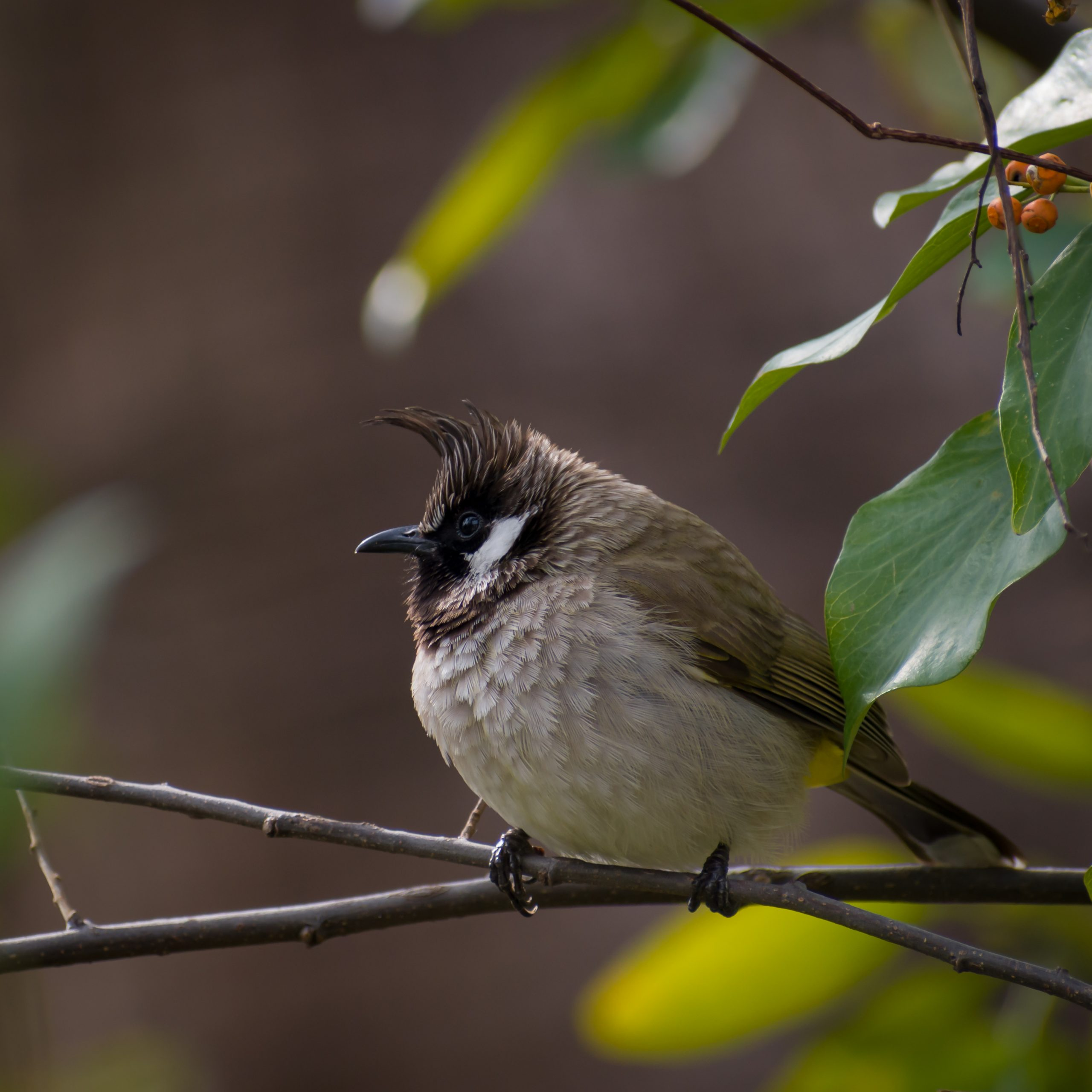 Bulbul bird sitting on branch