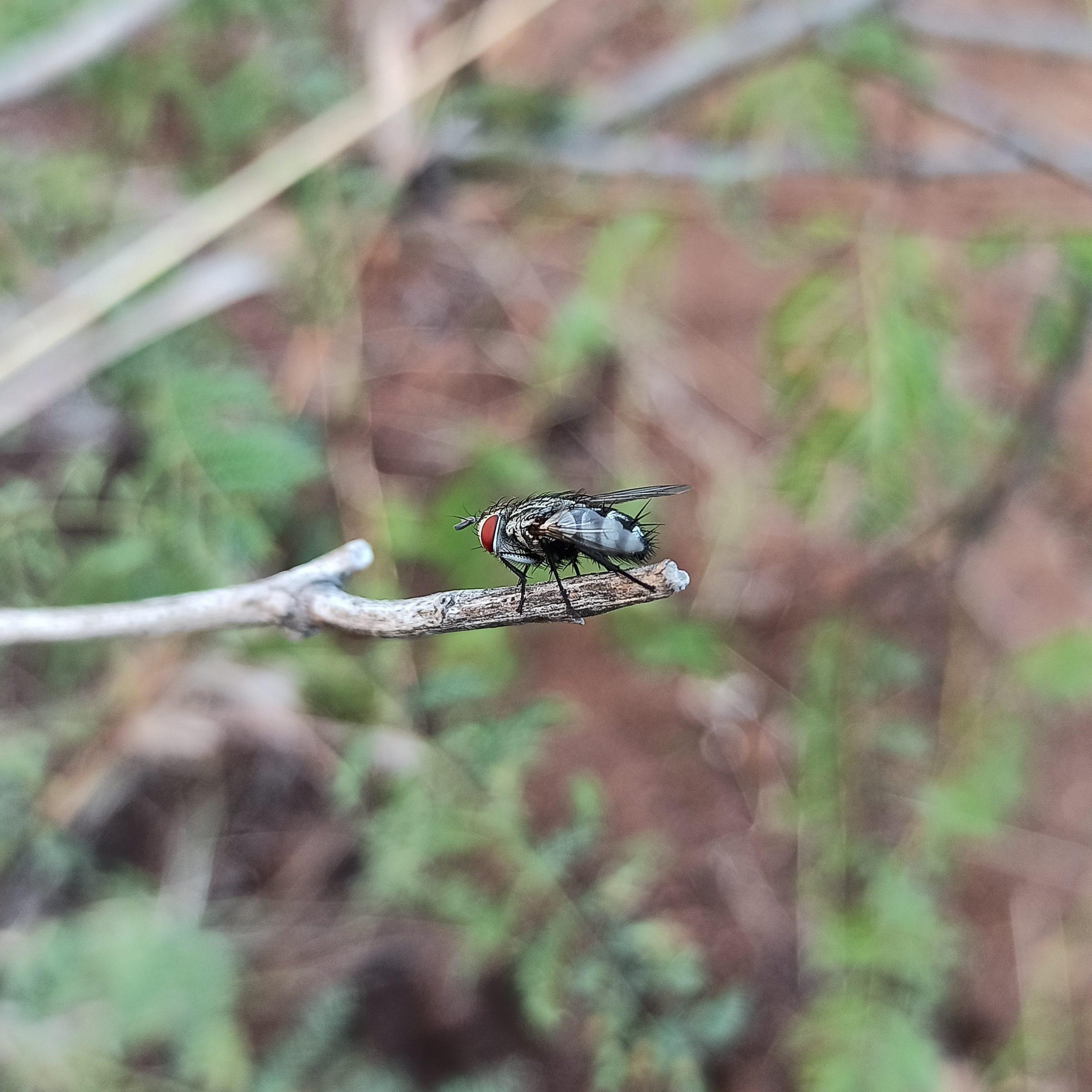 Carcelia fly