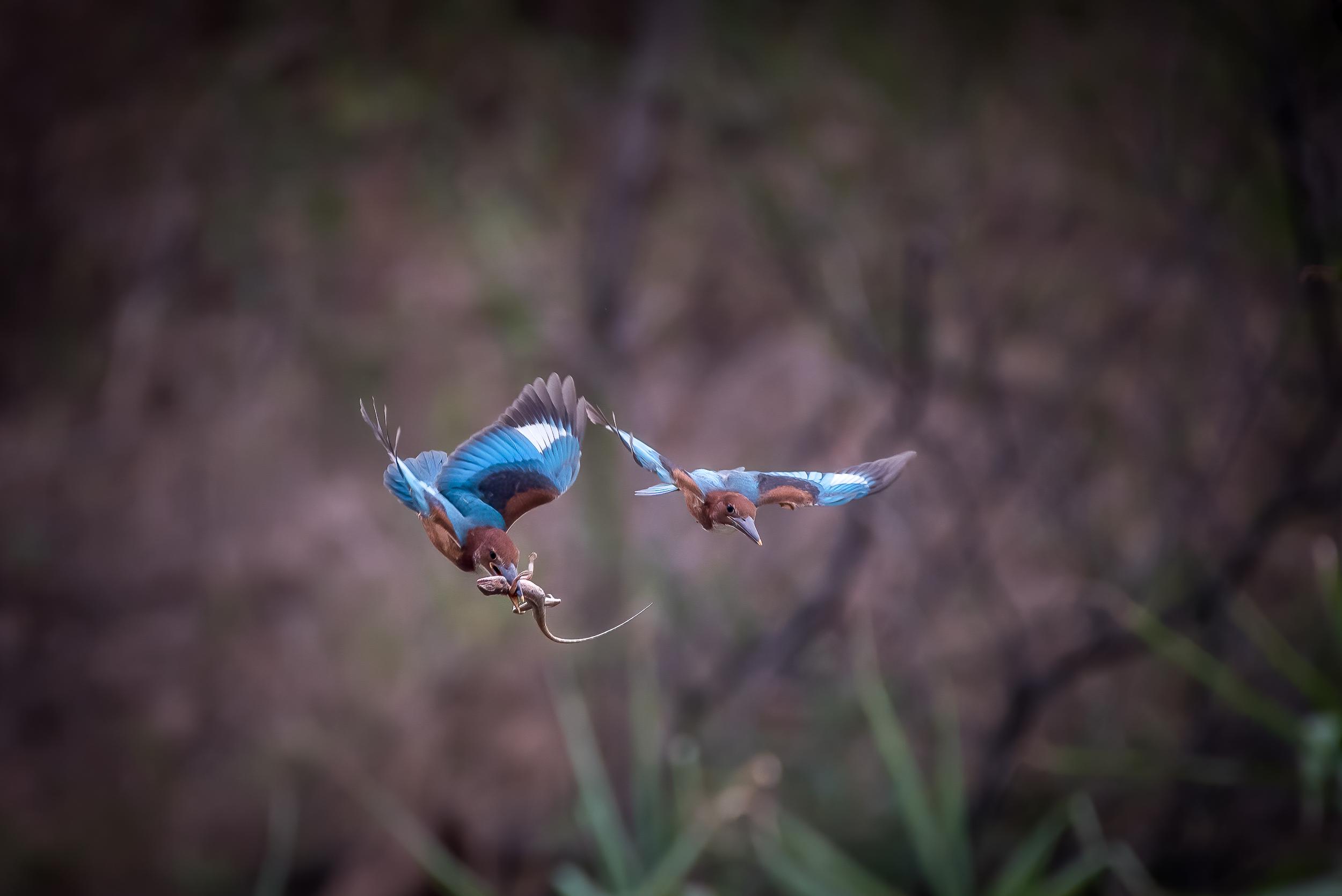 blue bird hunting chameleon