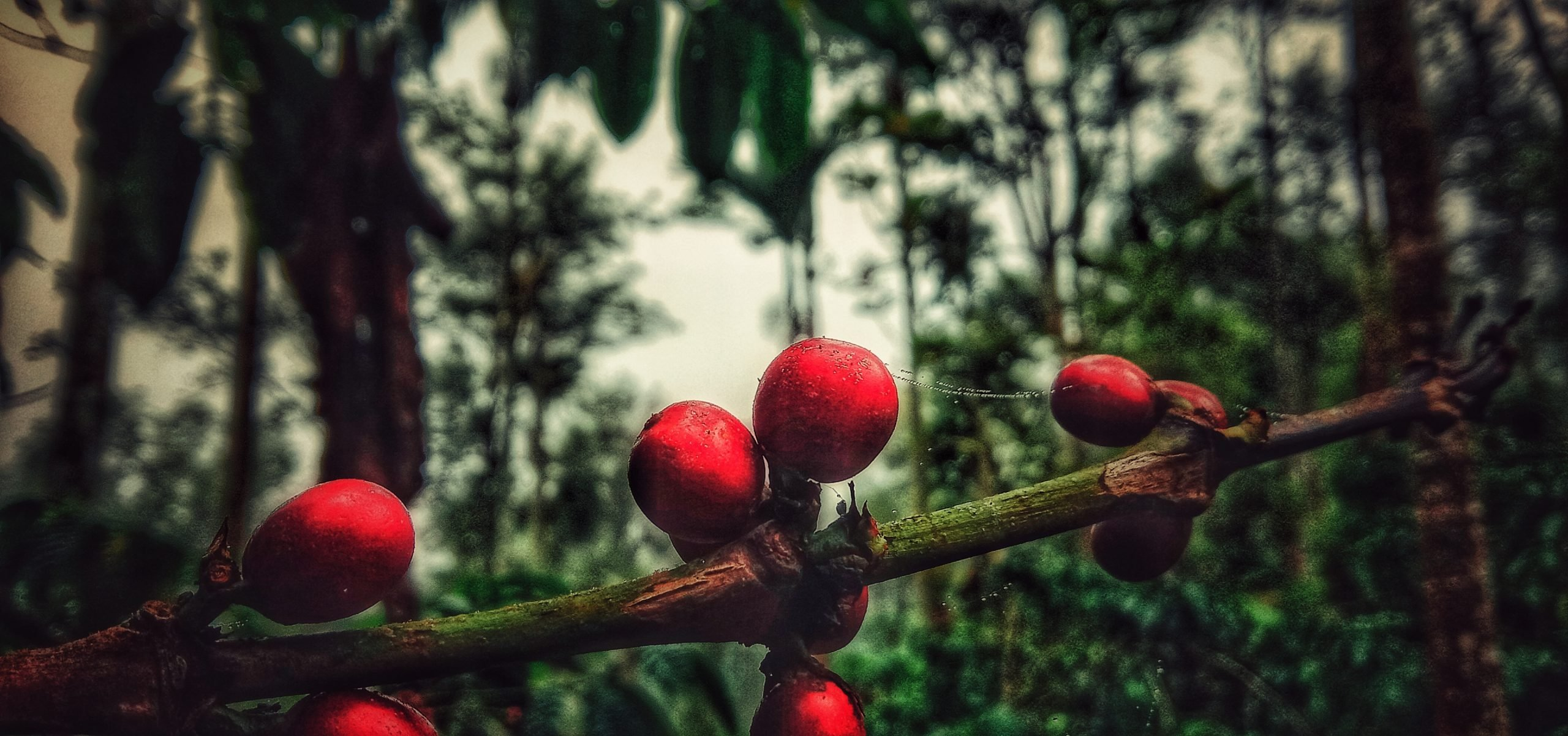 Cherries on a plant