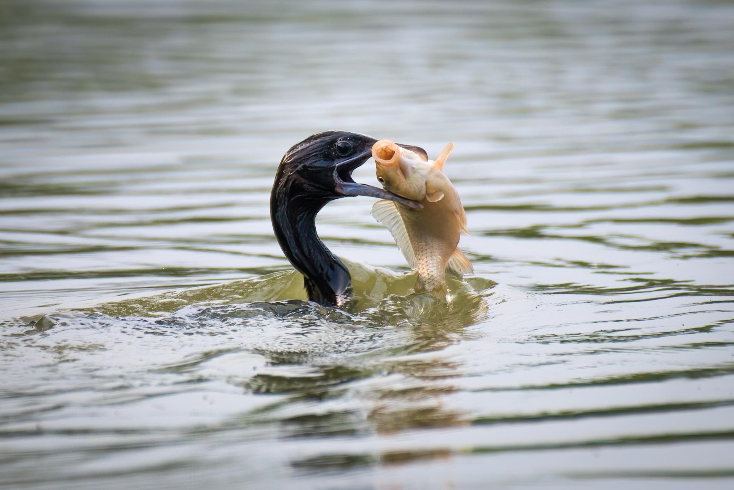 Cormorant Fish