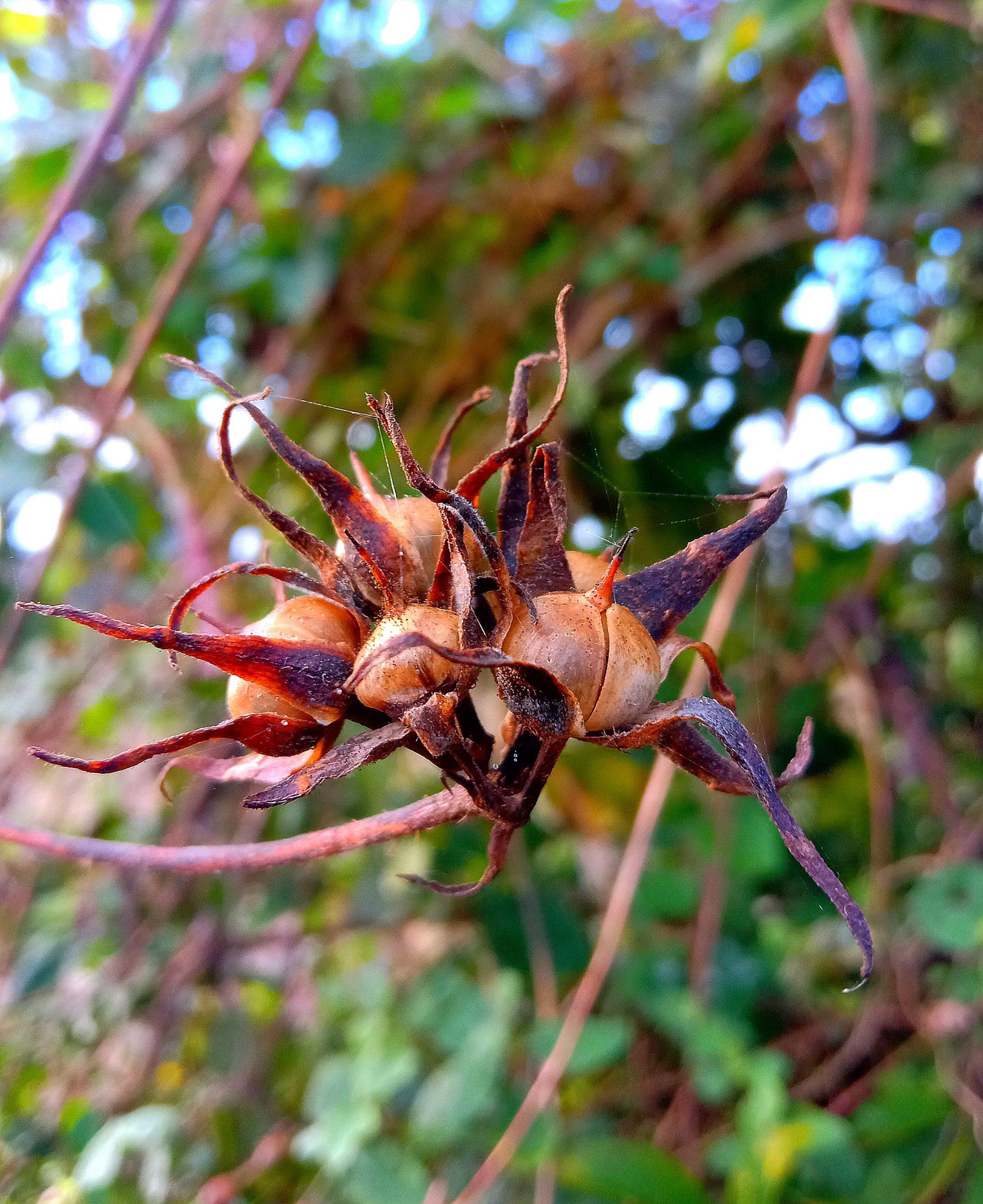 Cotton plant buds