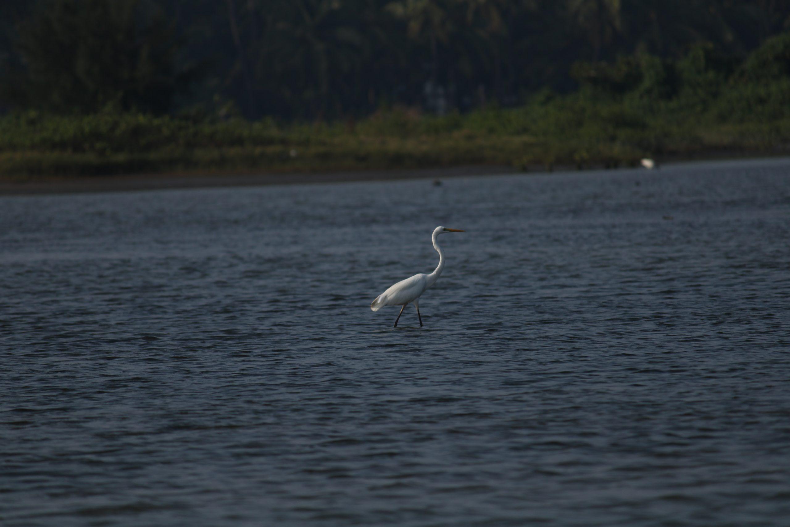 Crane bird in river