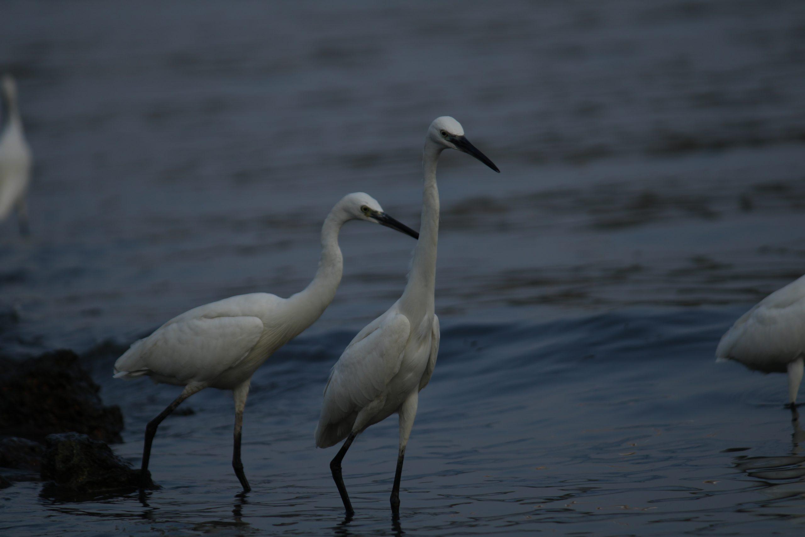 Crane birds in the river