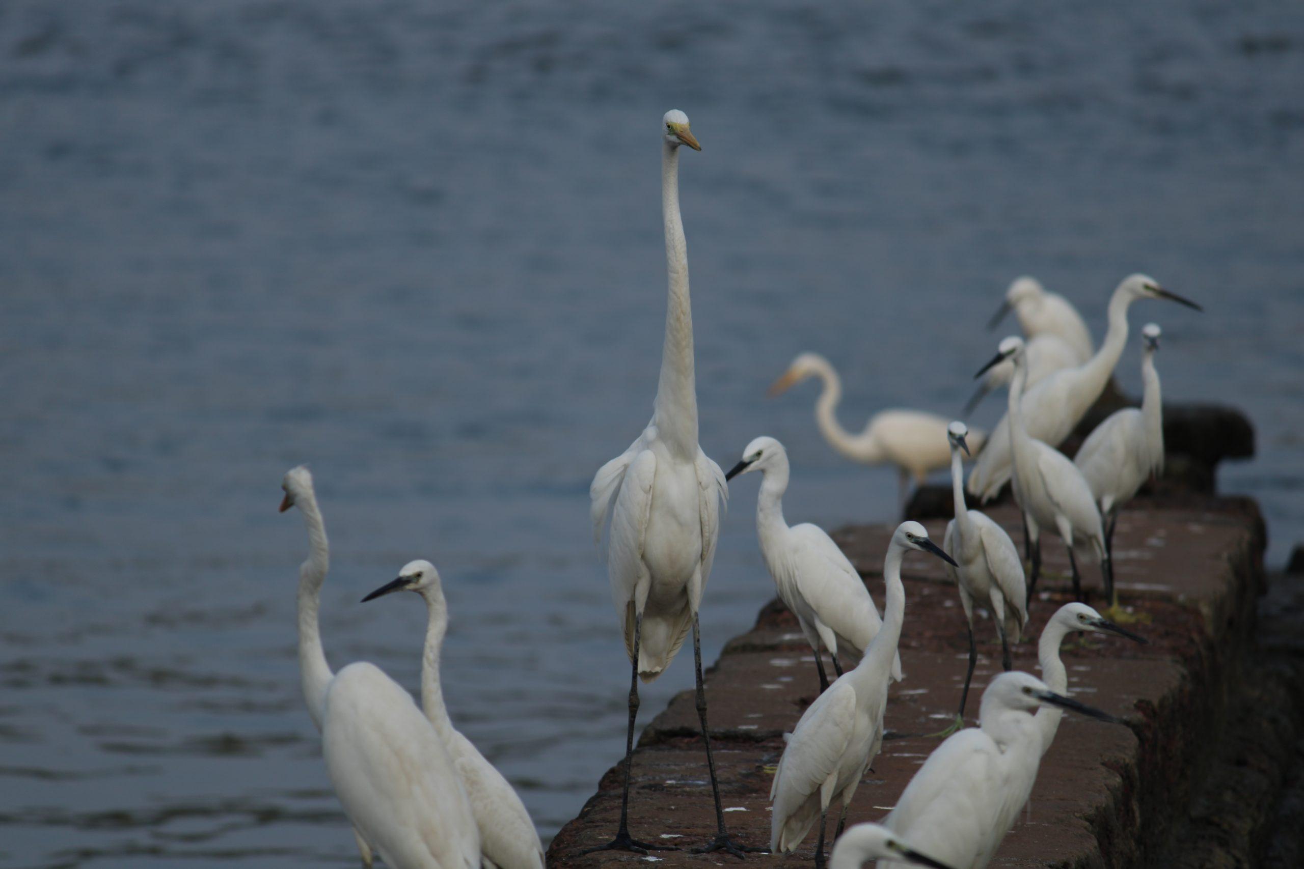 Crane birds near river