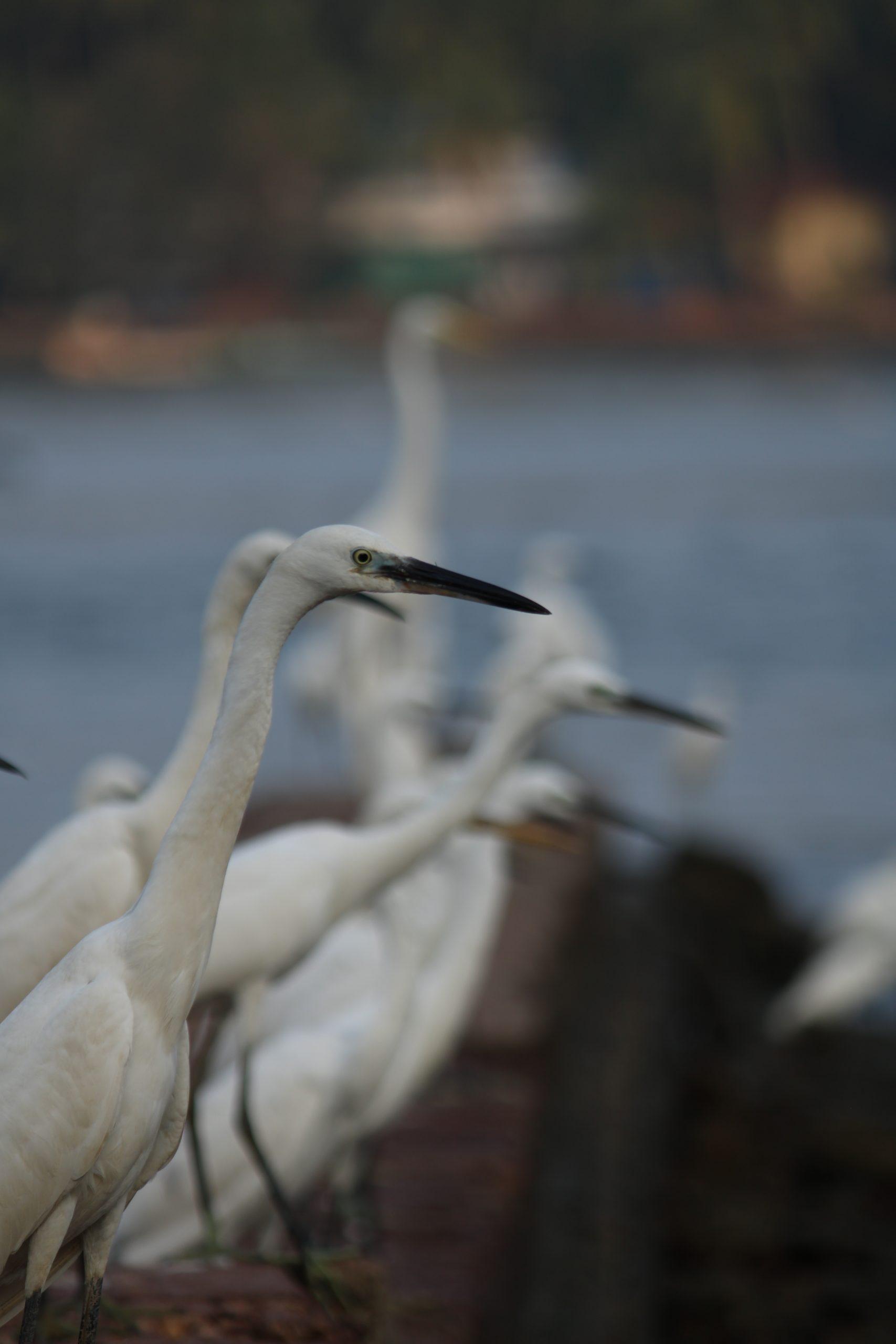 Crane birds near the river