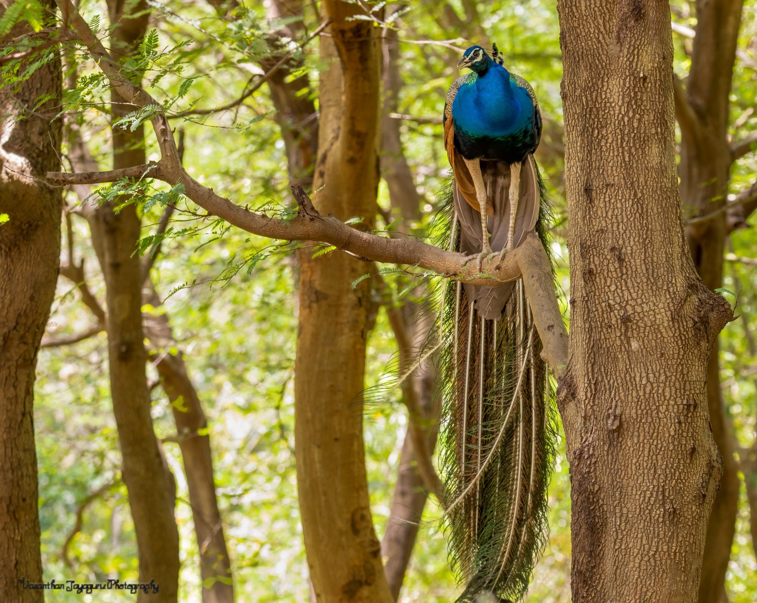 Peacock sitting on tree