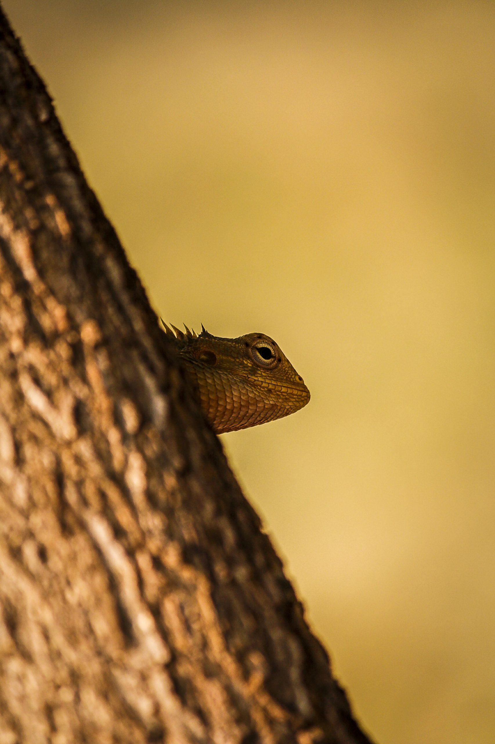Dragon lizard peeking from behind the tree
