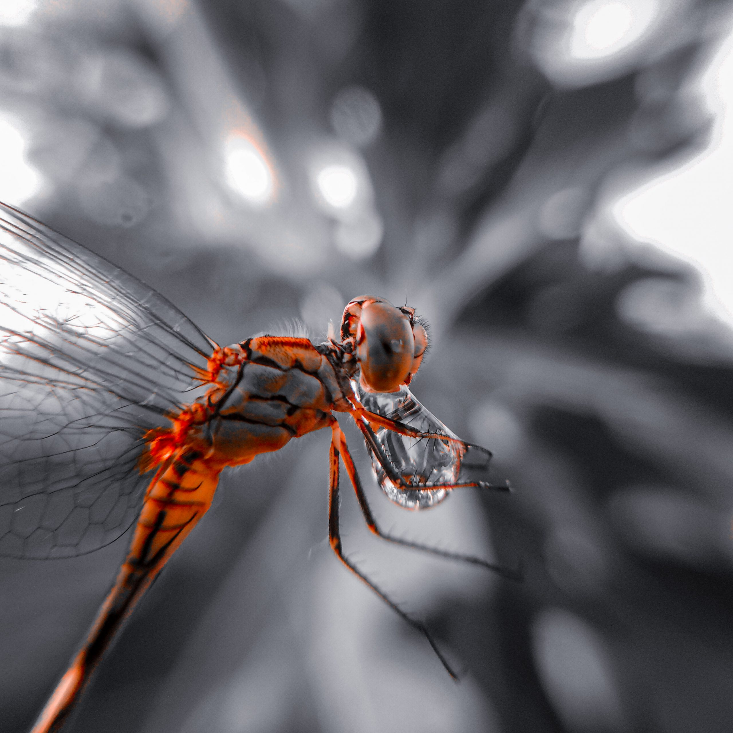 Dragonfly with water drop