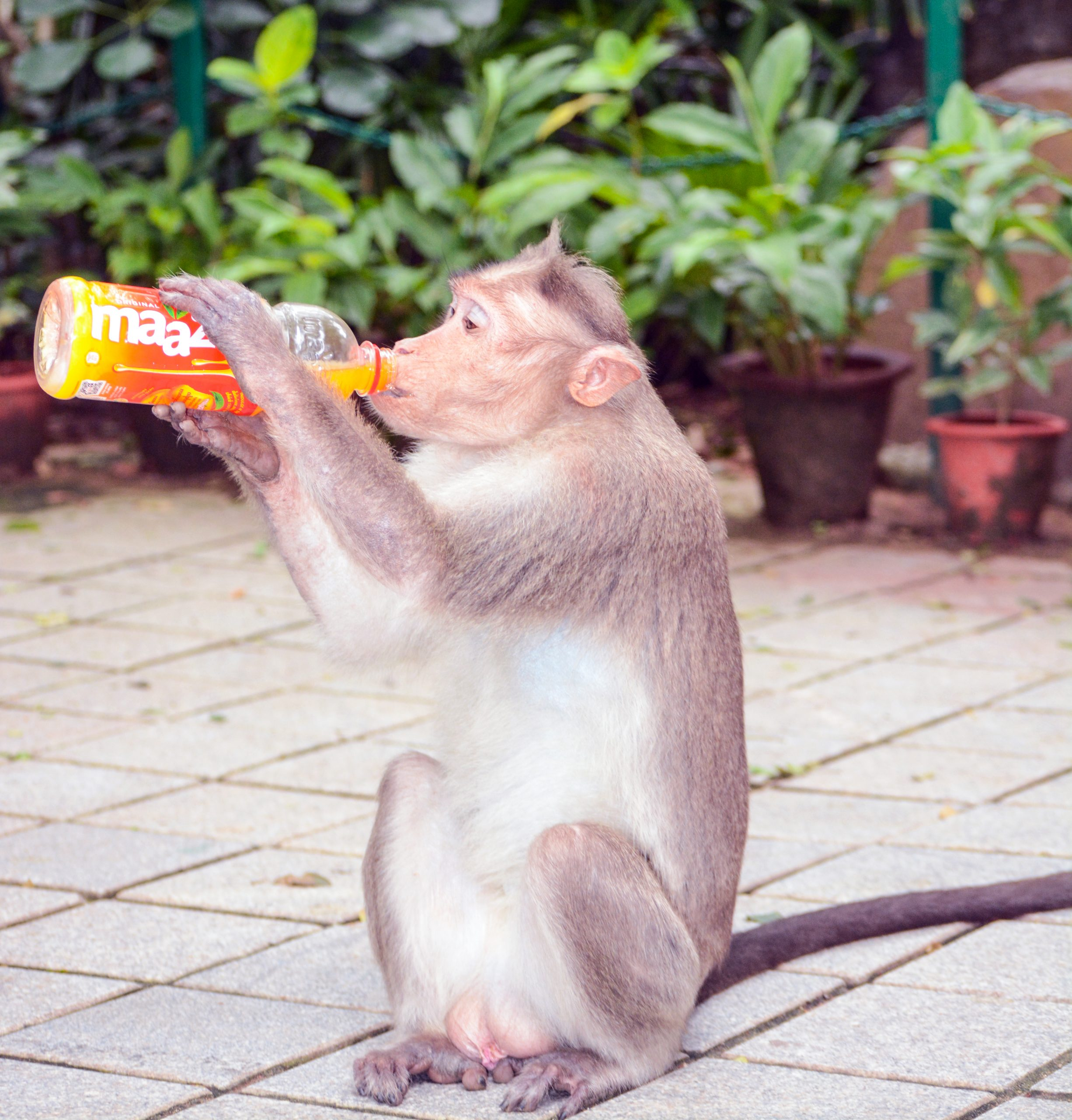Monkey drinking from a bottle