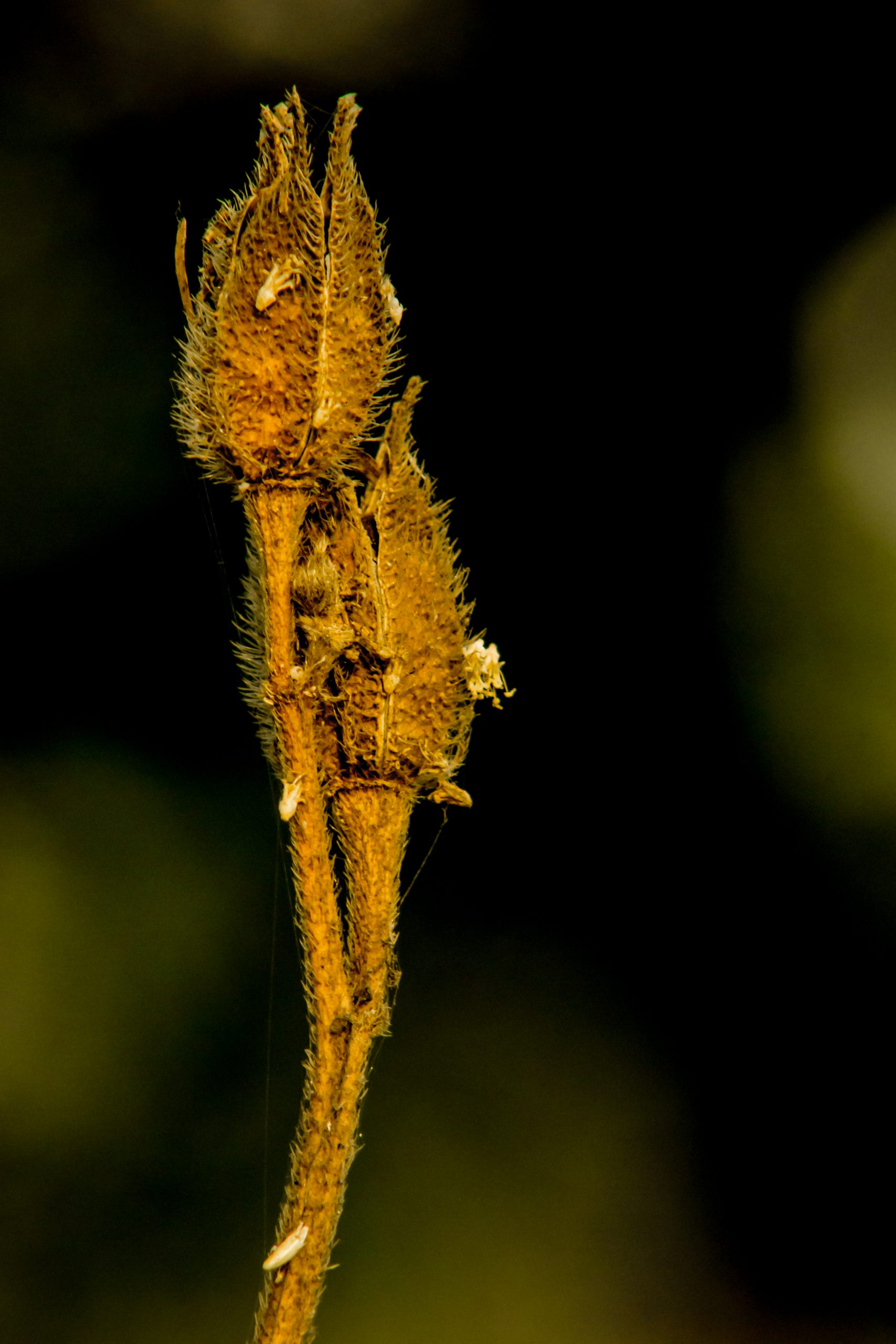 Dry buds of a plant