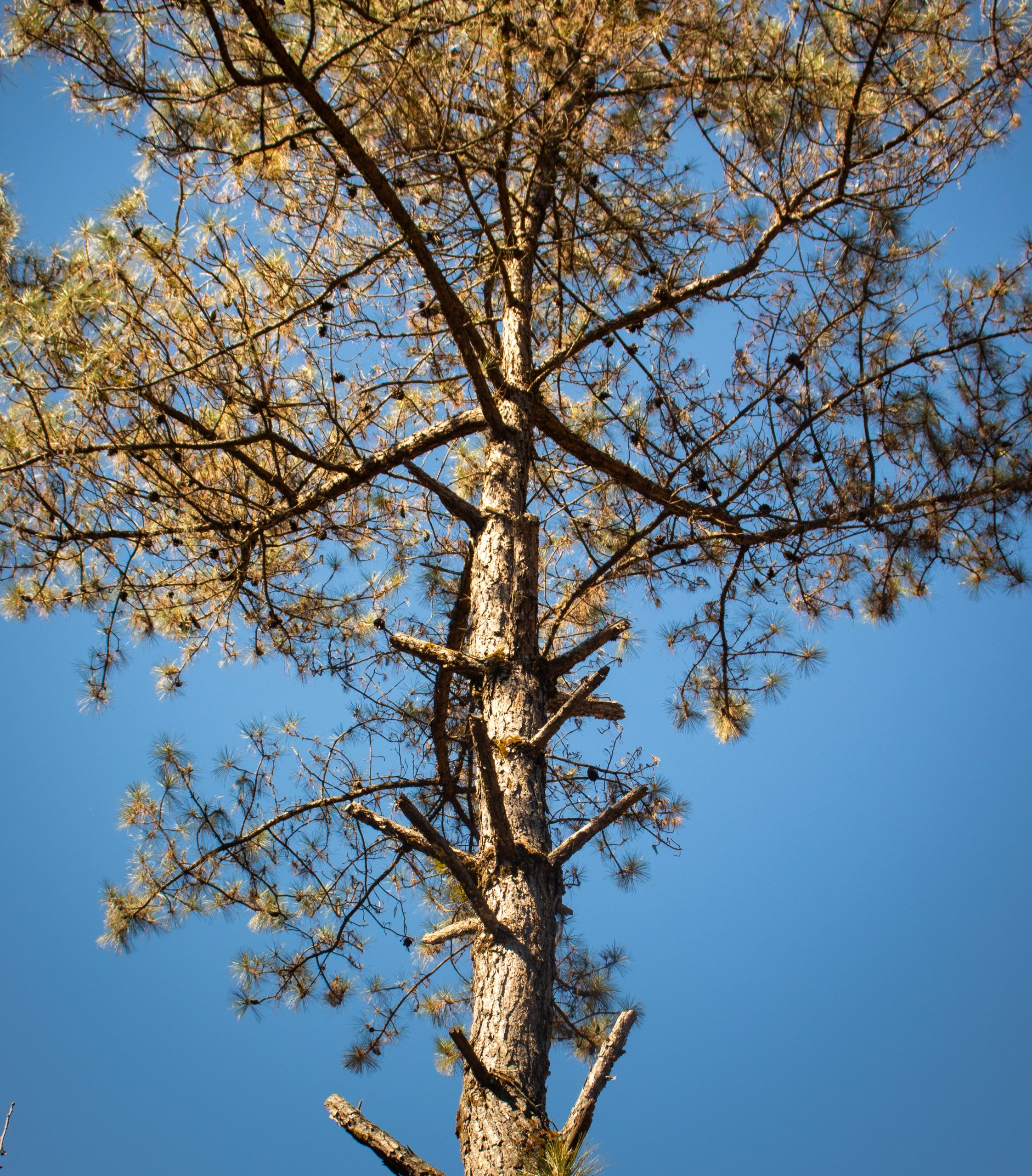 dried pine tree in sunlight