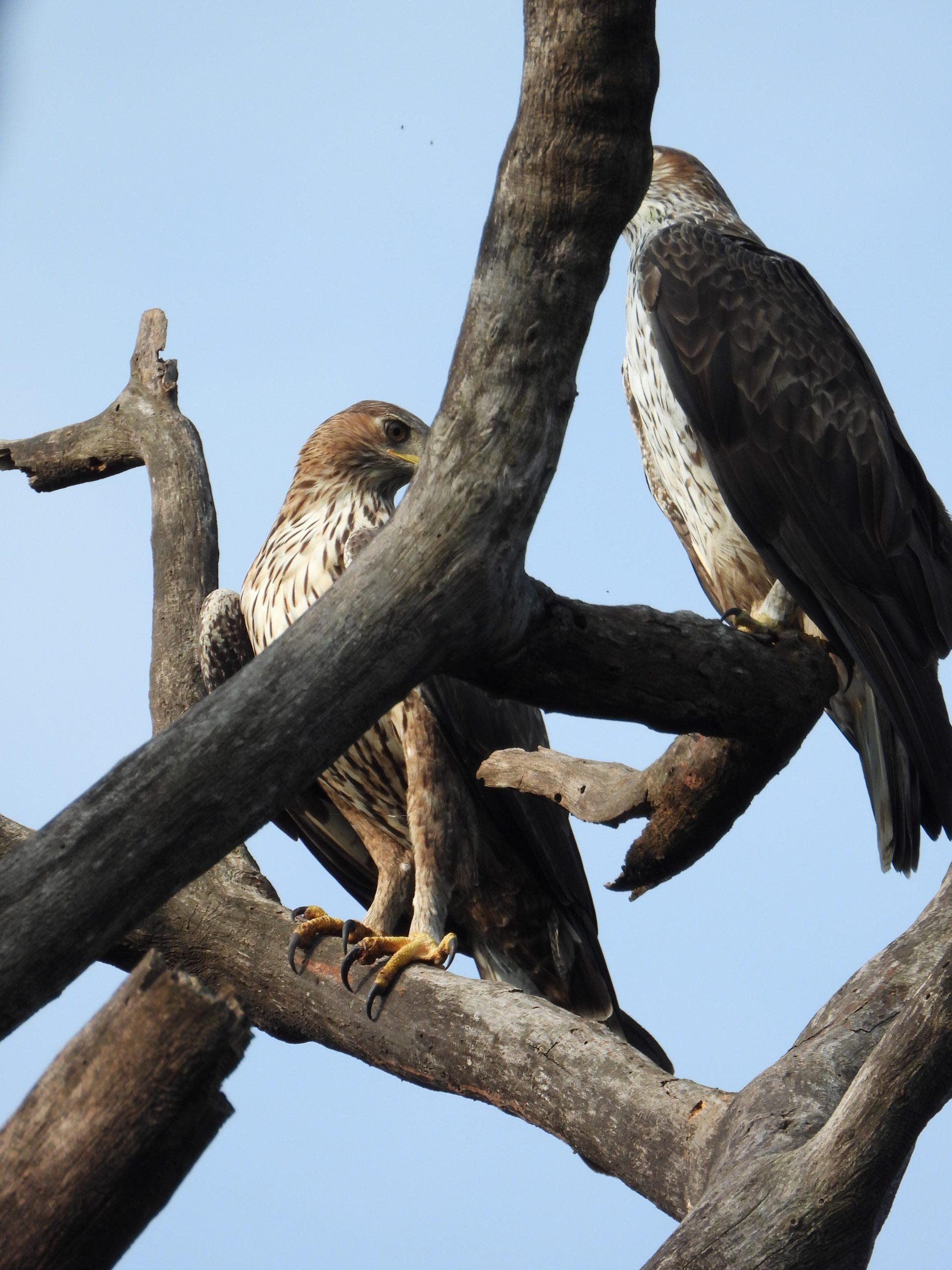 Eagles sitting on tree
