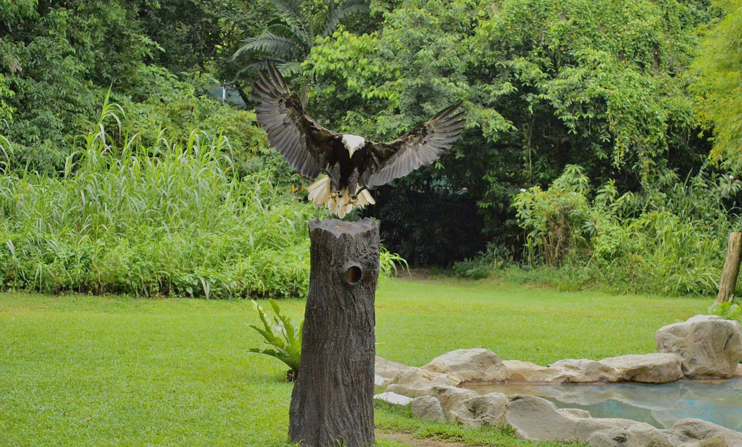 Eagle landing on wooden pole