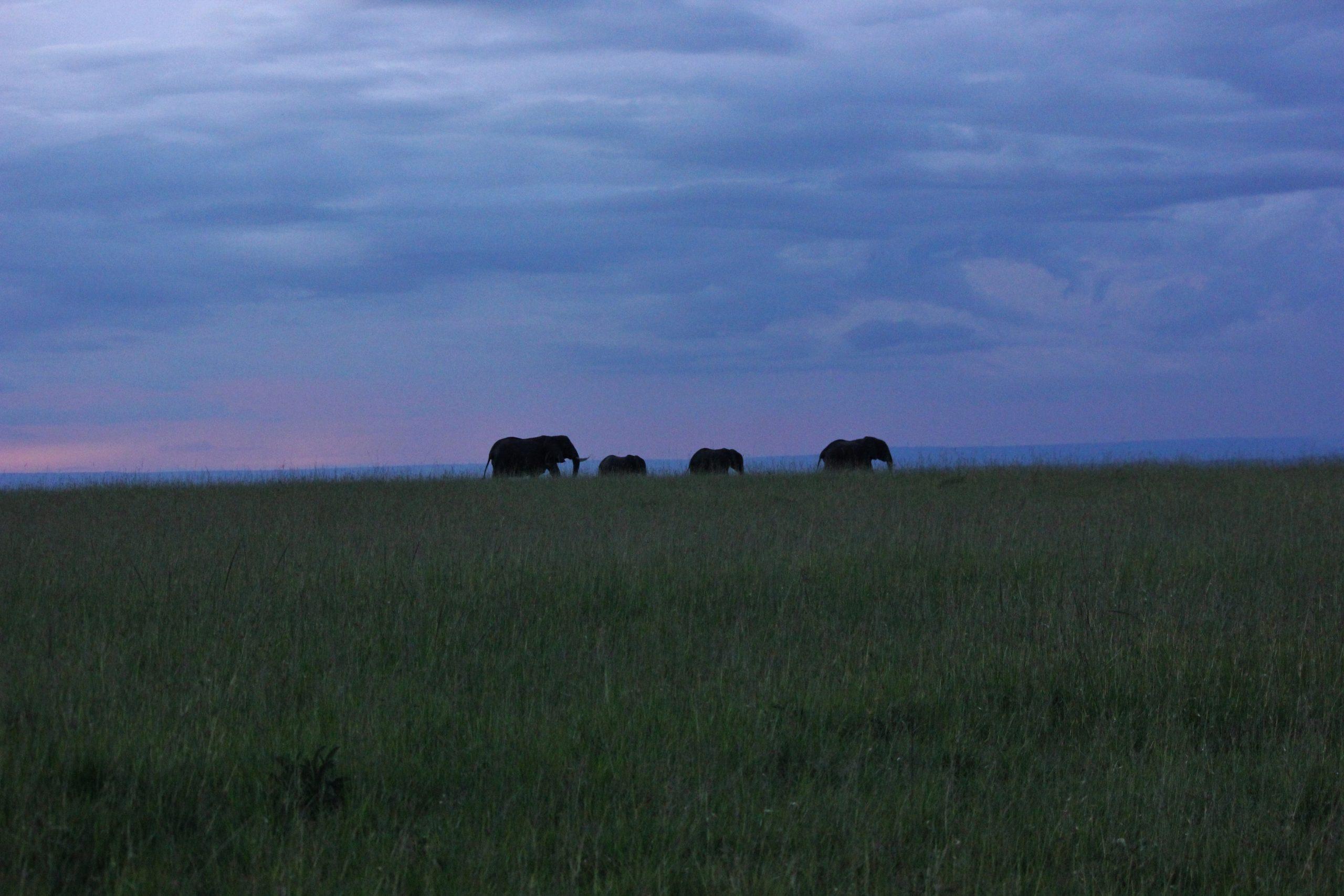 Elephants in Masai Mara nature reserve in Kenya