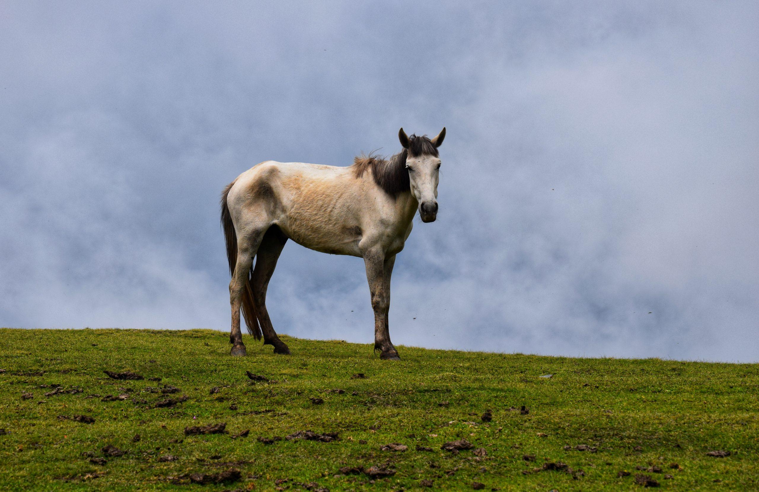 Ethiopian Horses in Kashmir