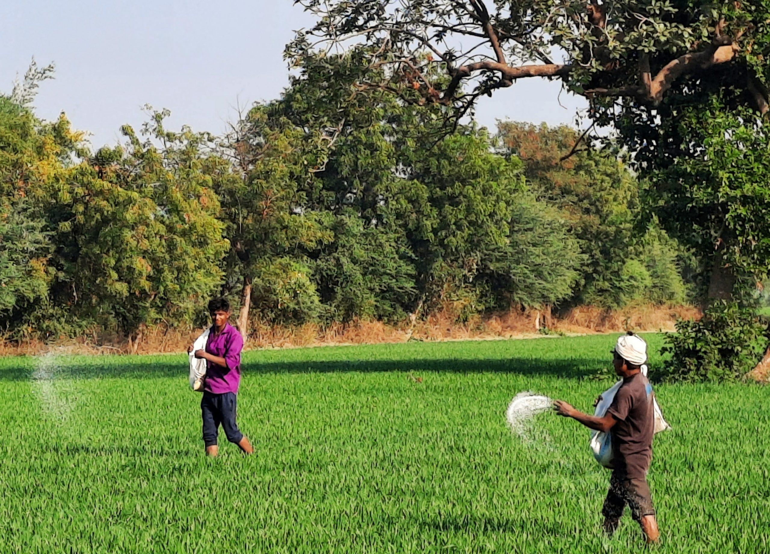 Farmers throwing fertilizers in fields