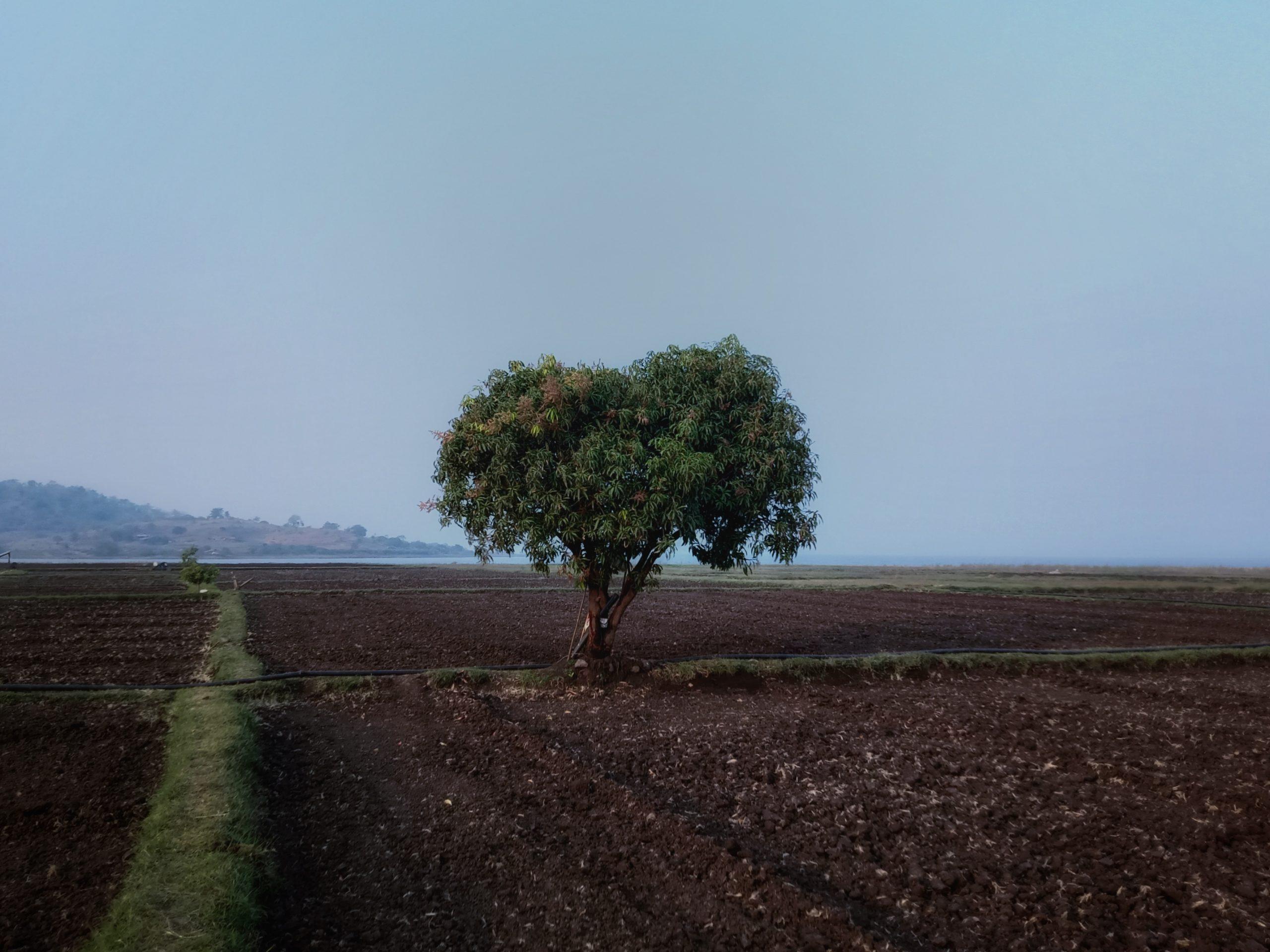mango tree near the sea