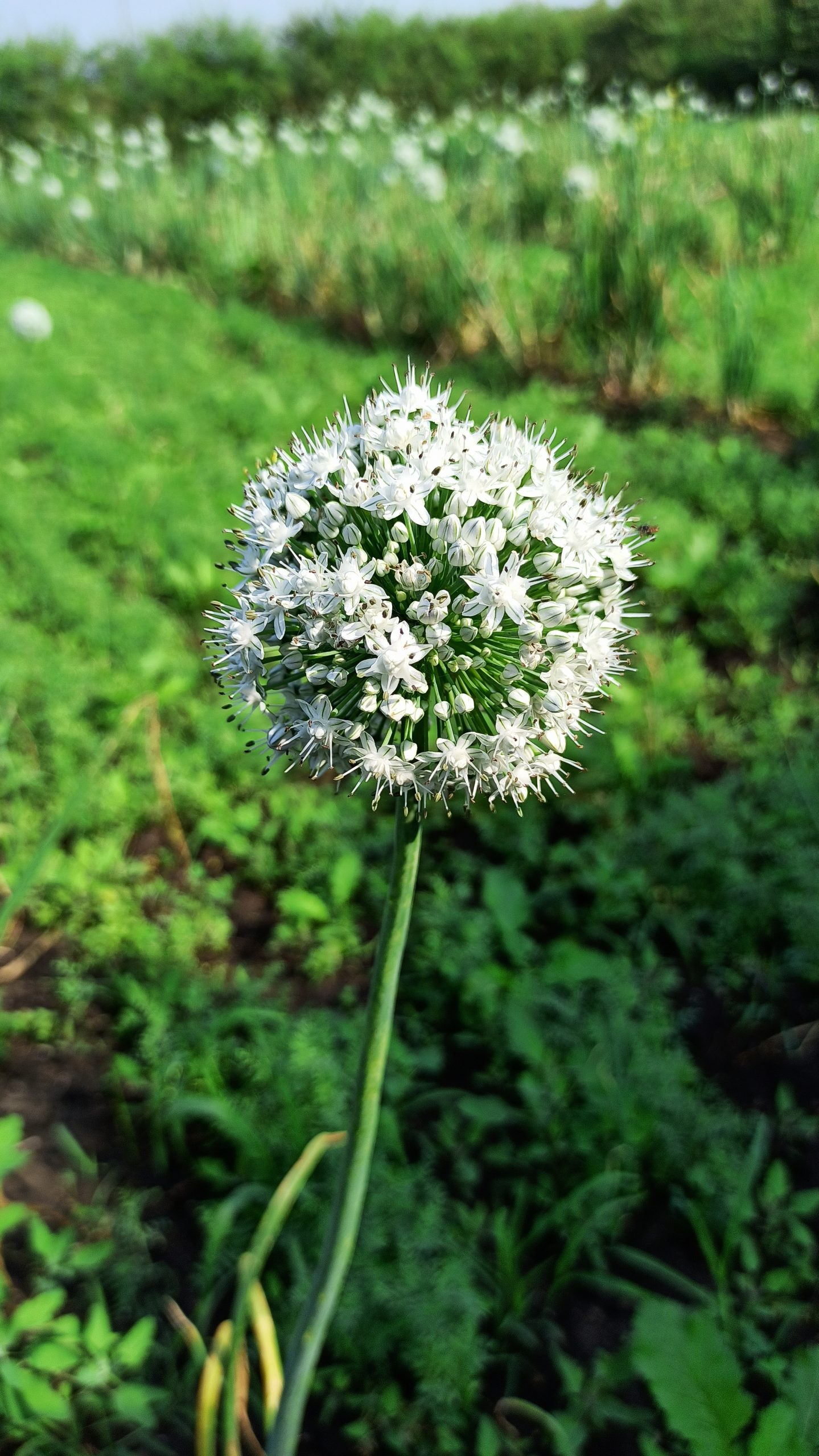 Flower of an onion plant