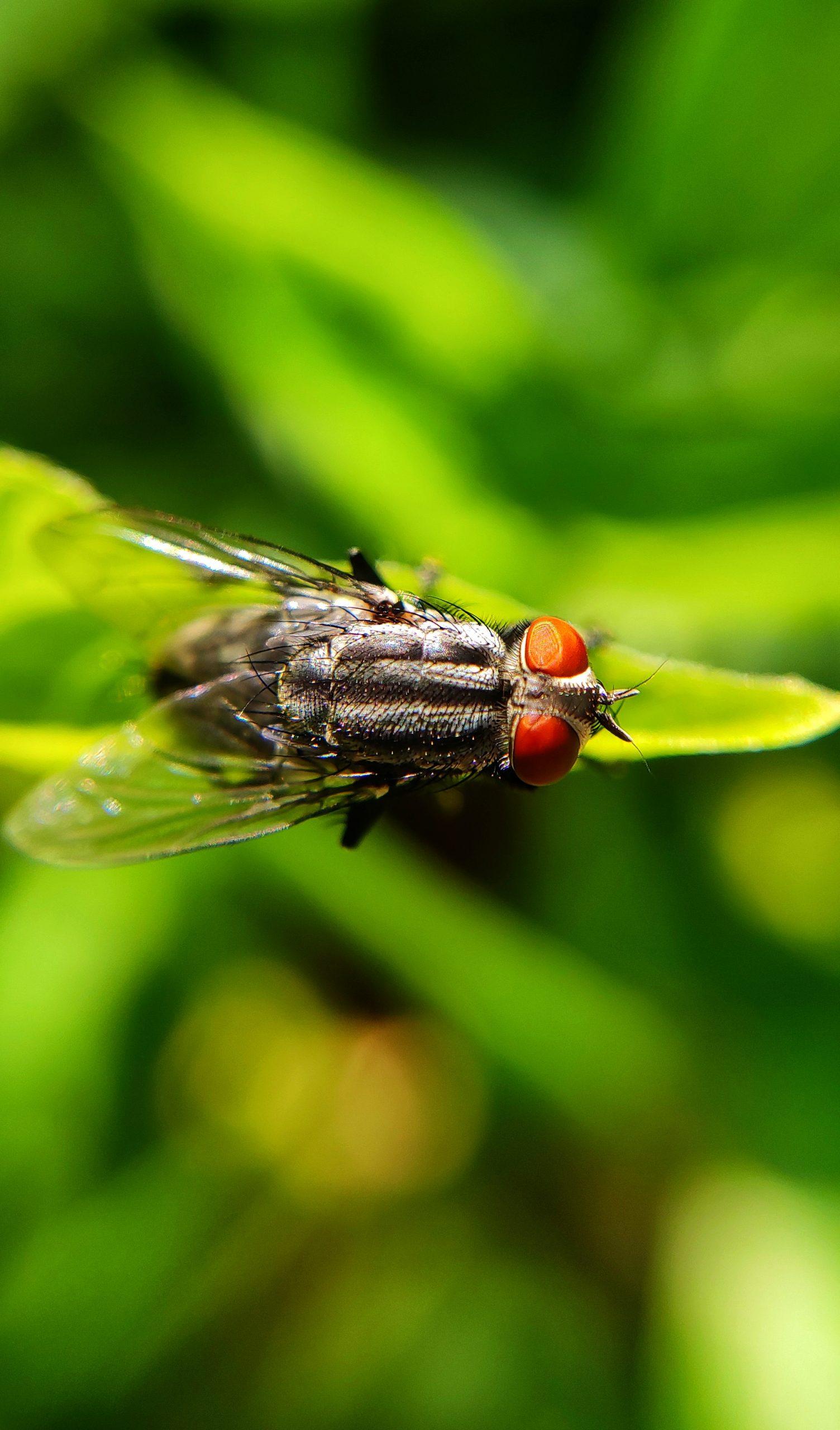 Housefly macro view
