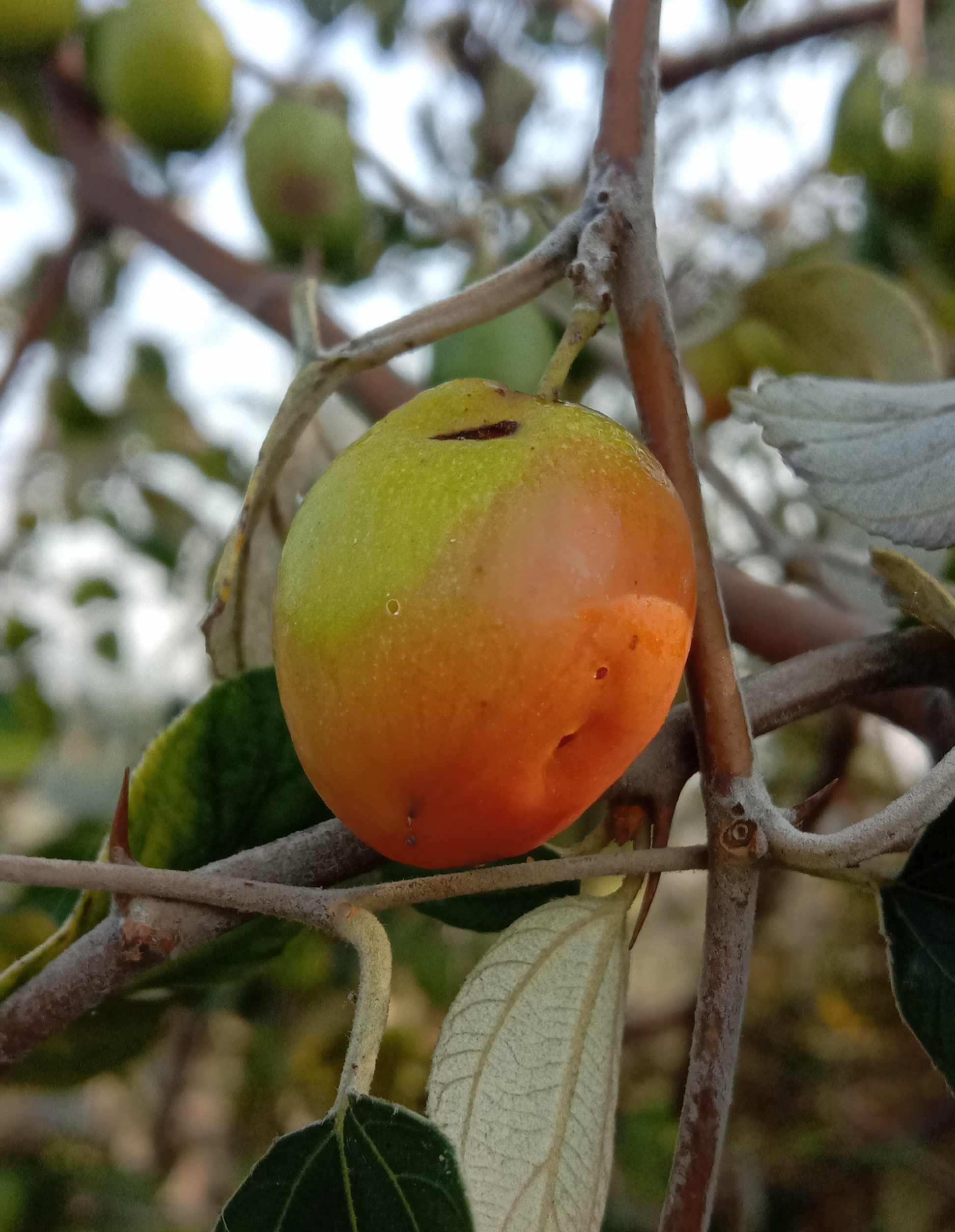 Fruit hanging on tree