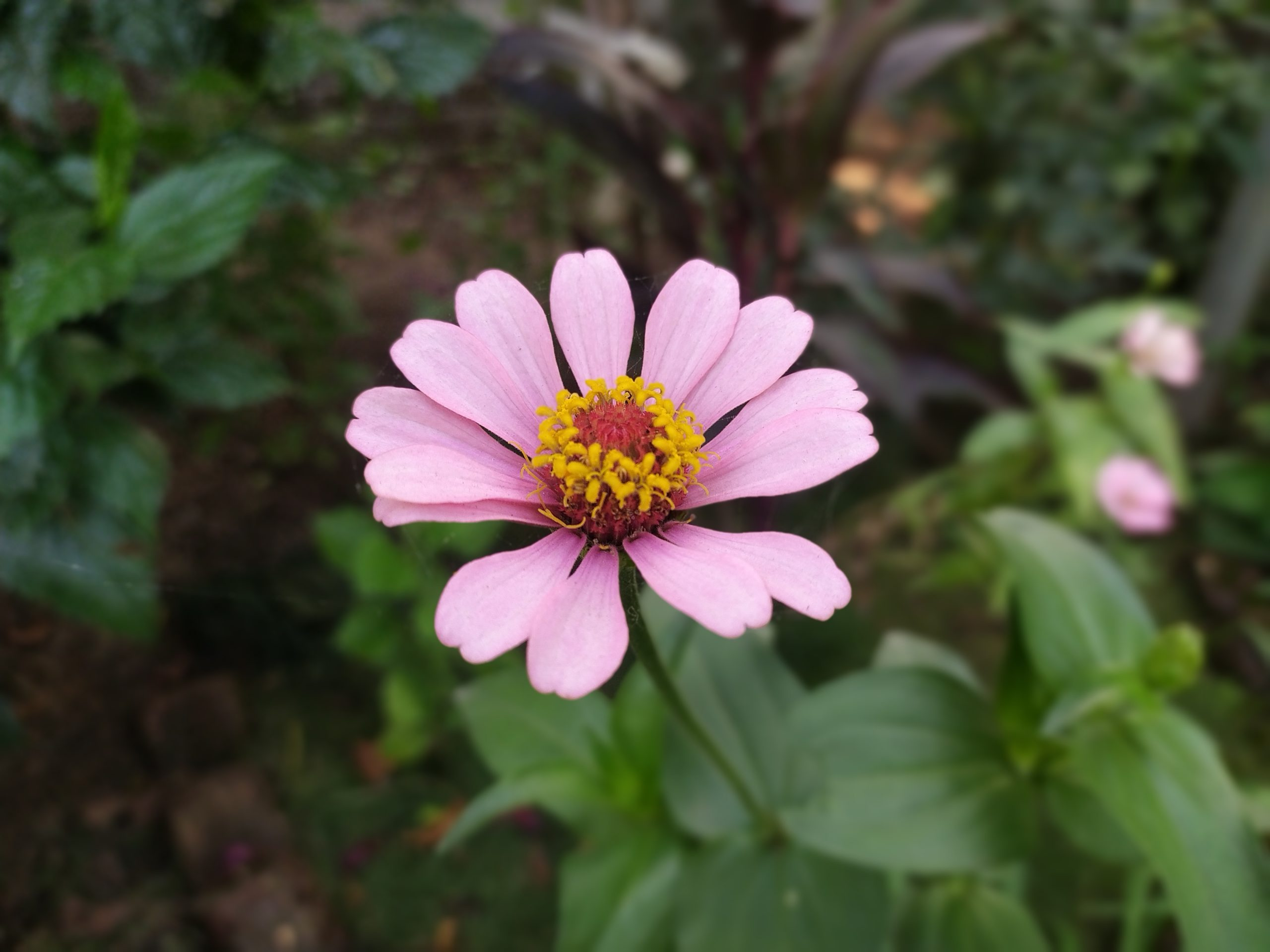 Galbera flower