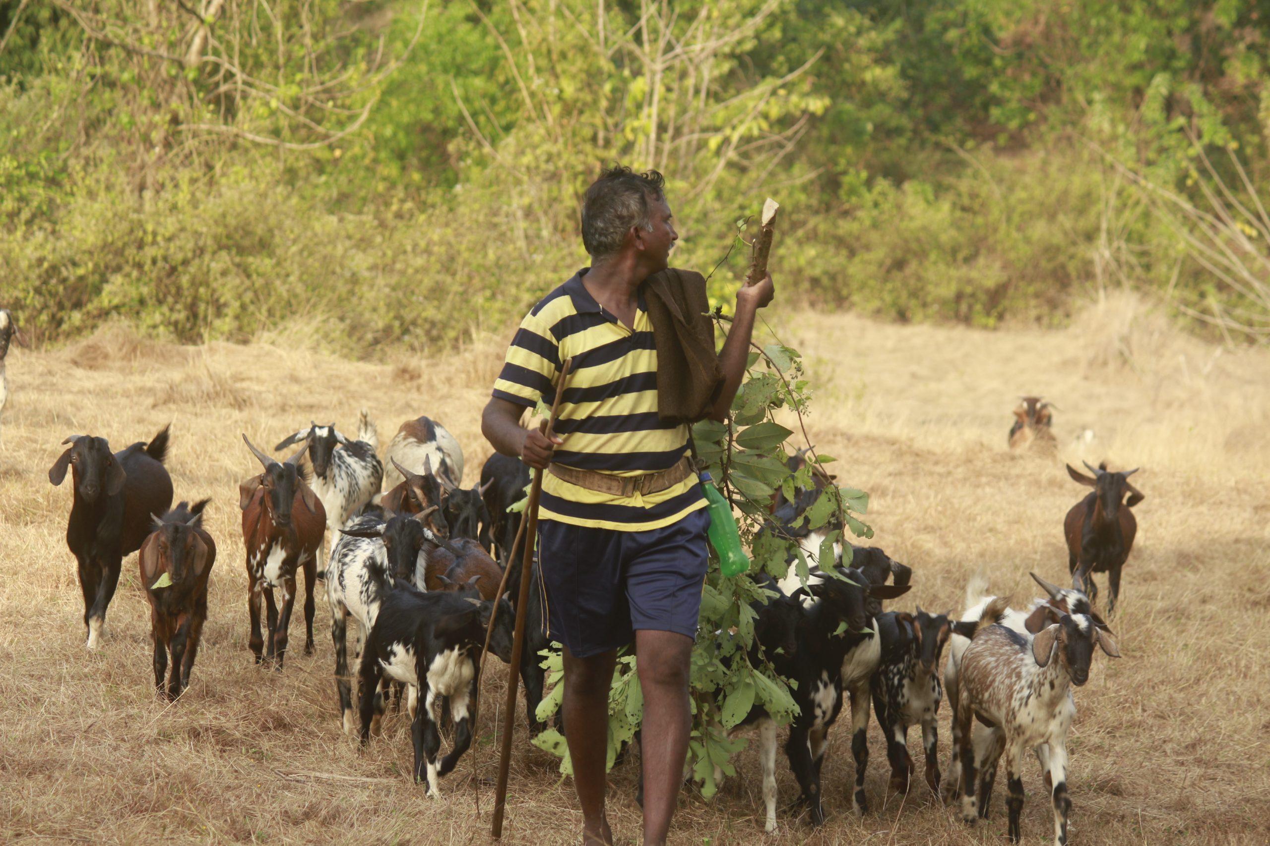Man grazing goats in the farm
