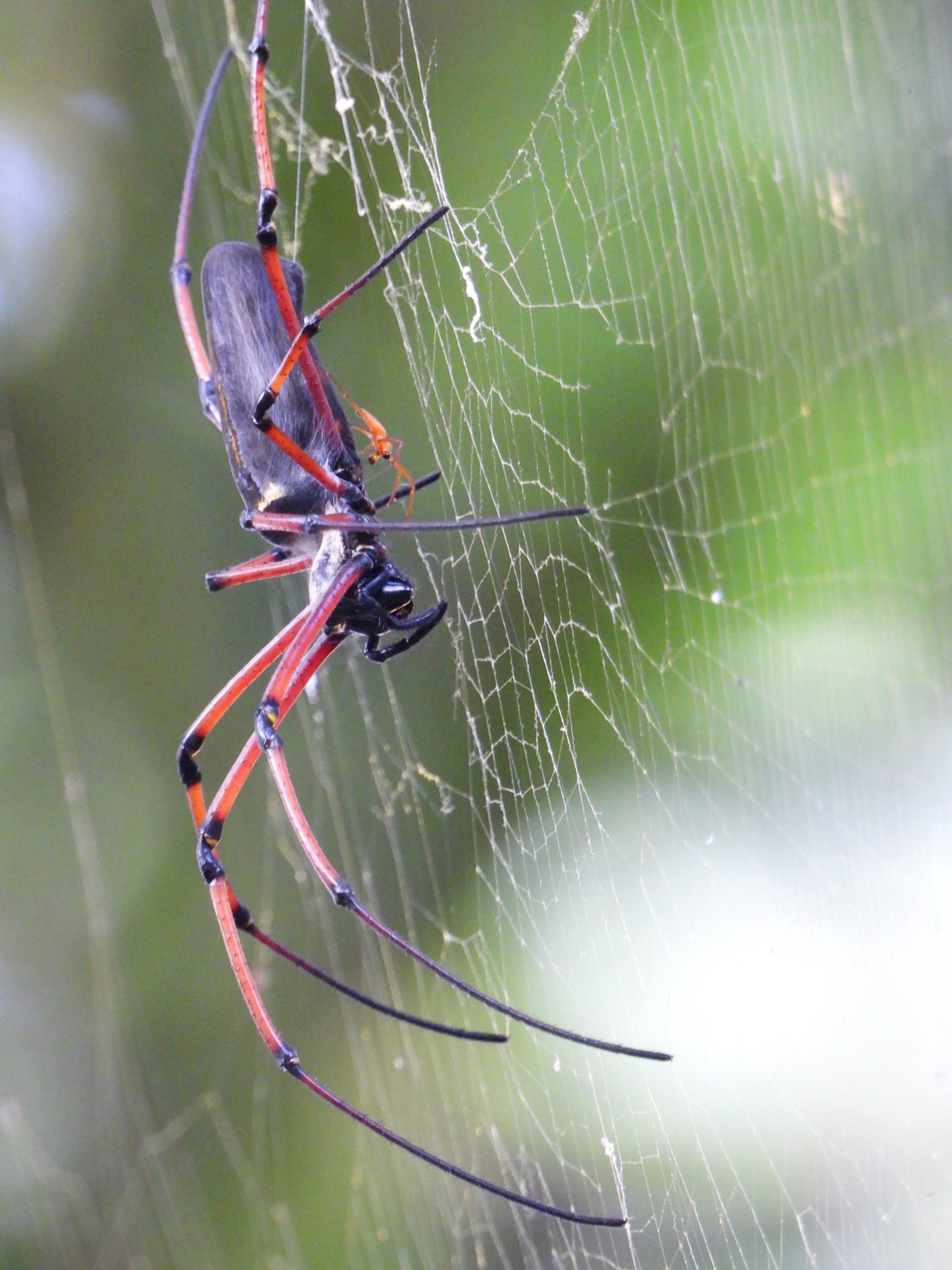Red spider sitting on web
