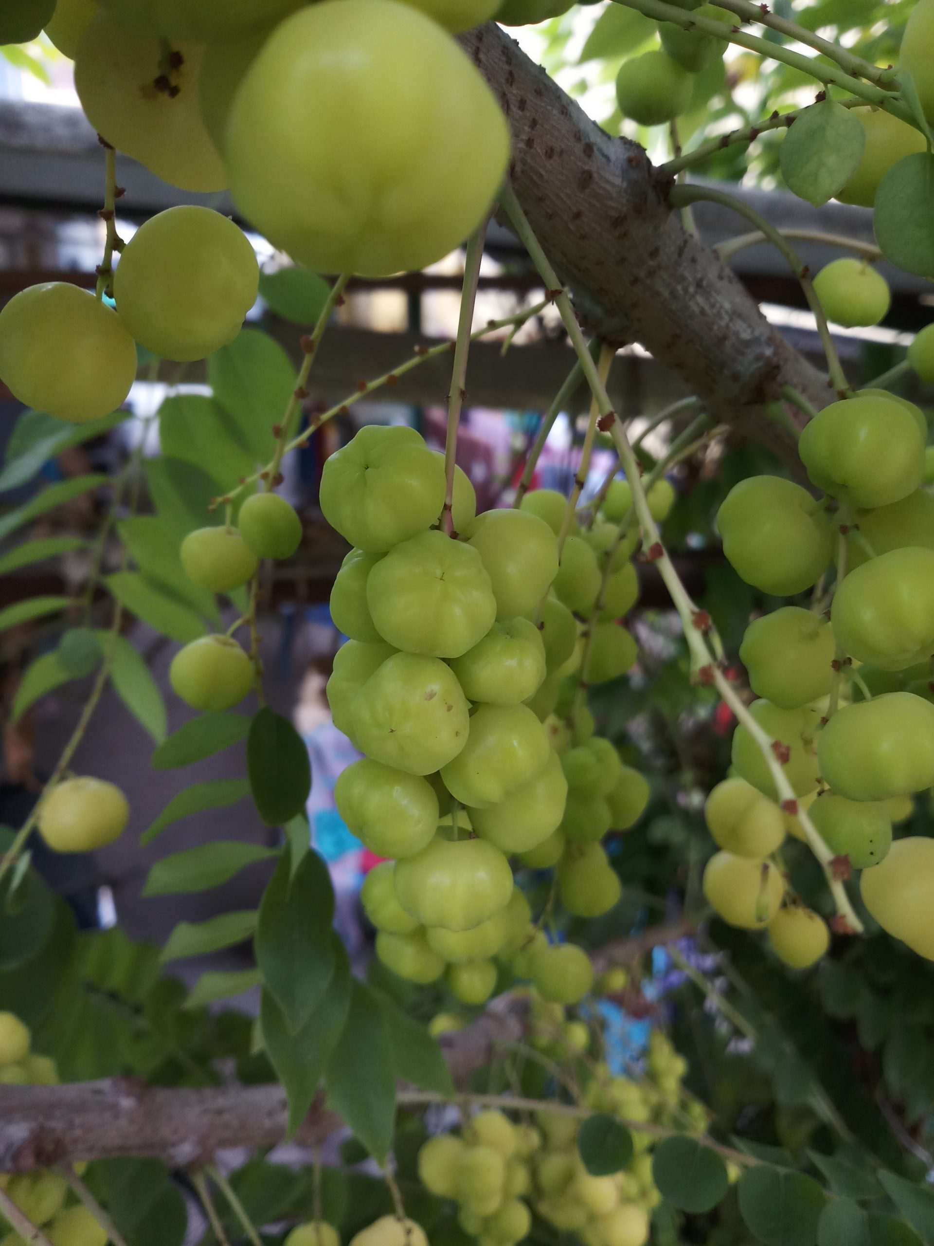 Gooseberries on a plant