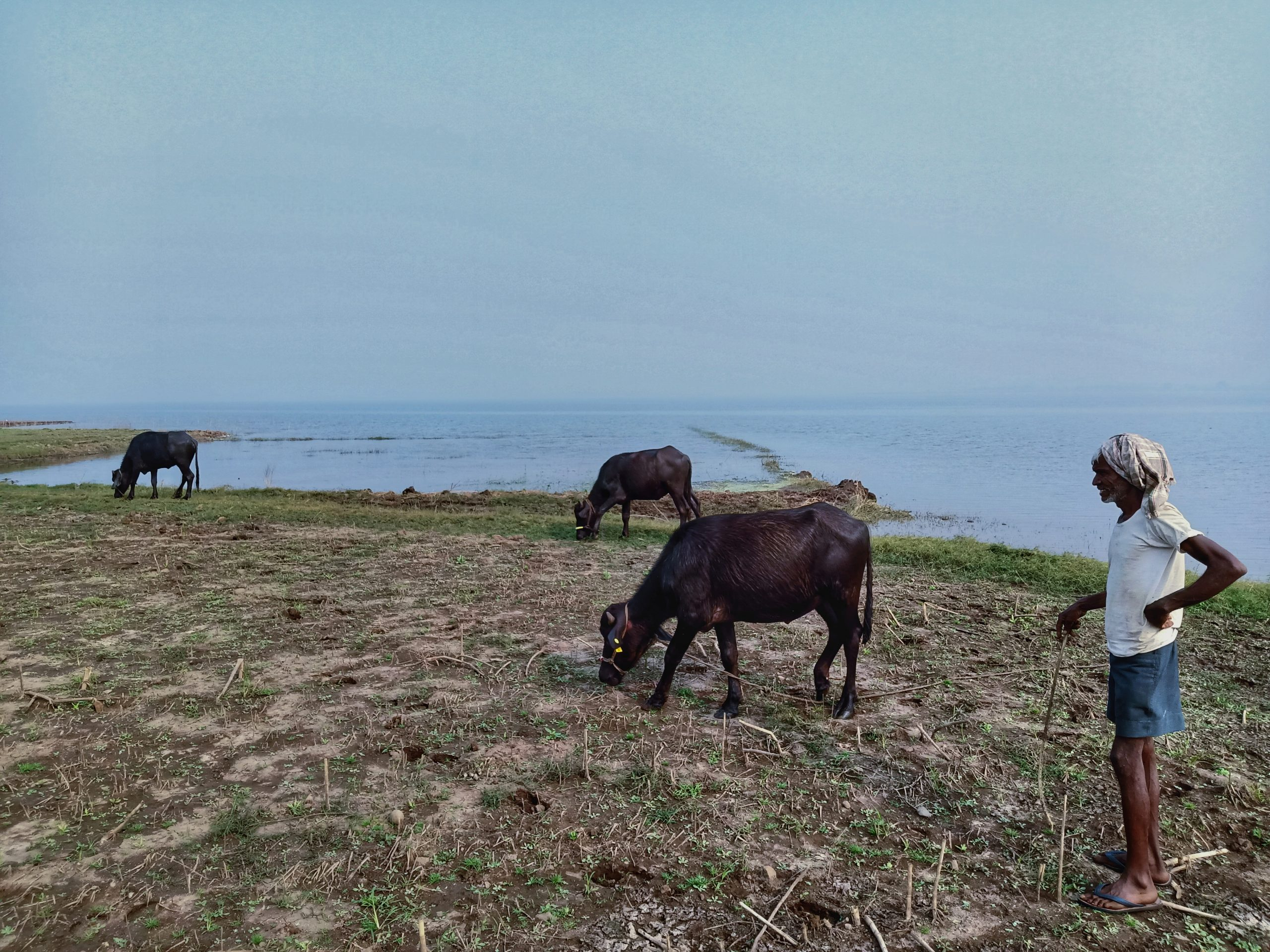 Man grazing animals at rive site
