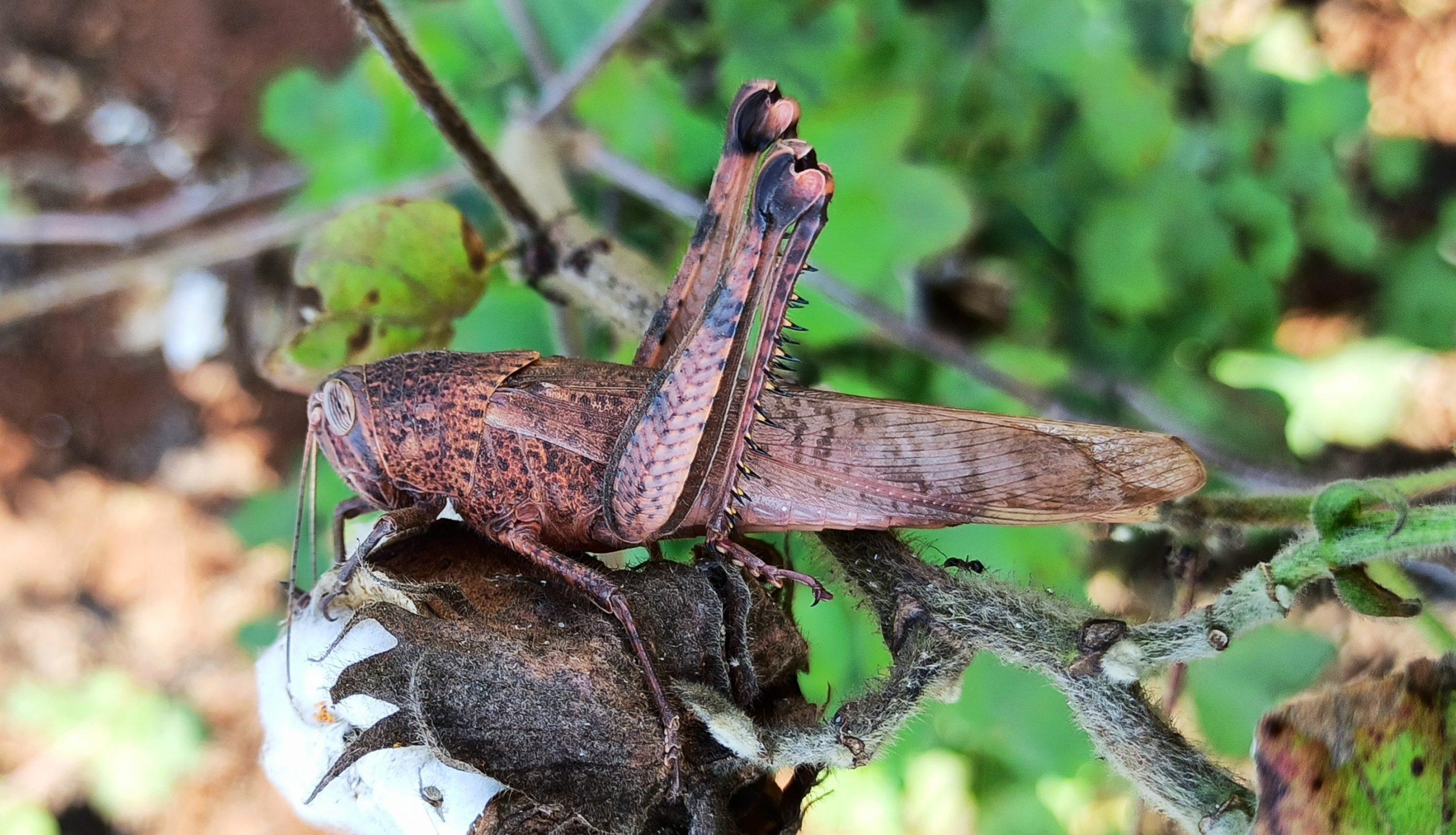 Grasshopper in cotton flower