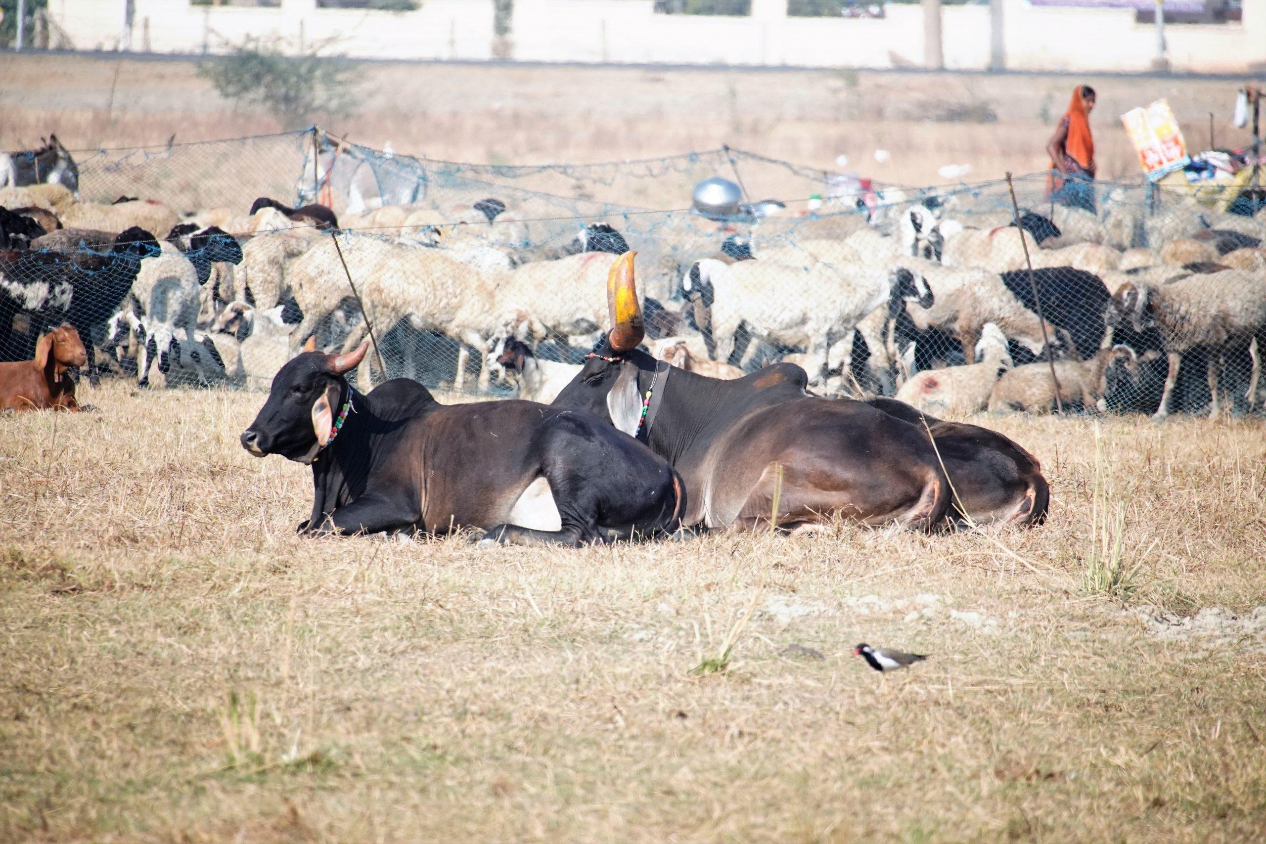 Livestock sitting in a herd