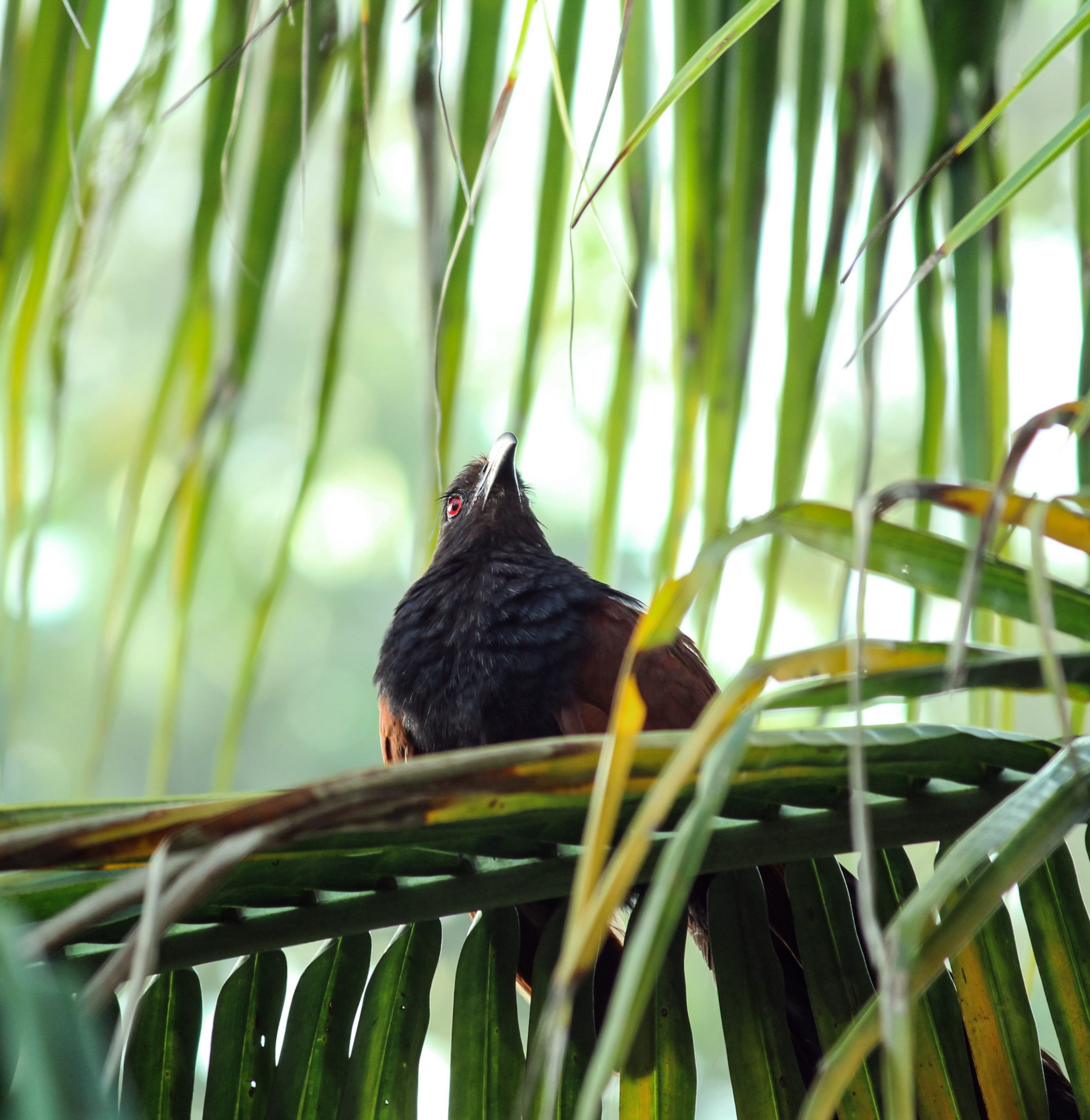 Greater coucal bird on coconut tree