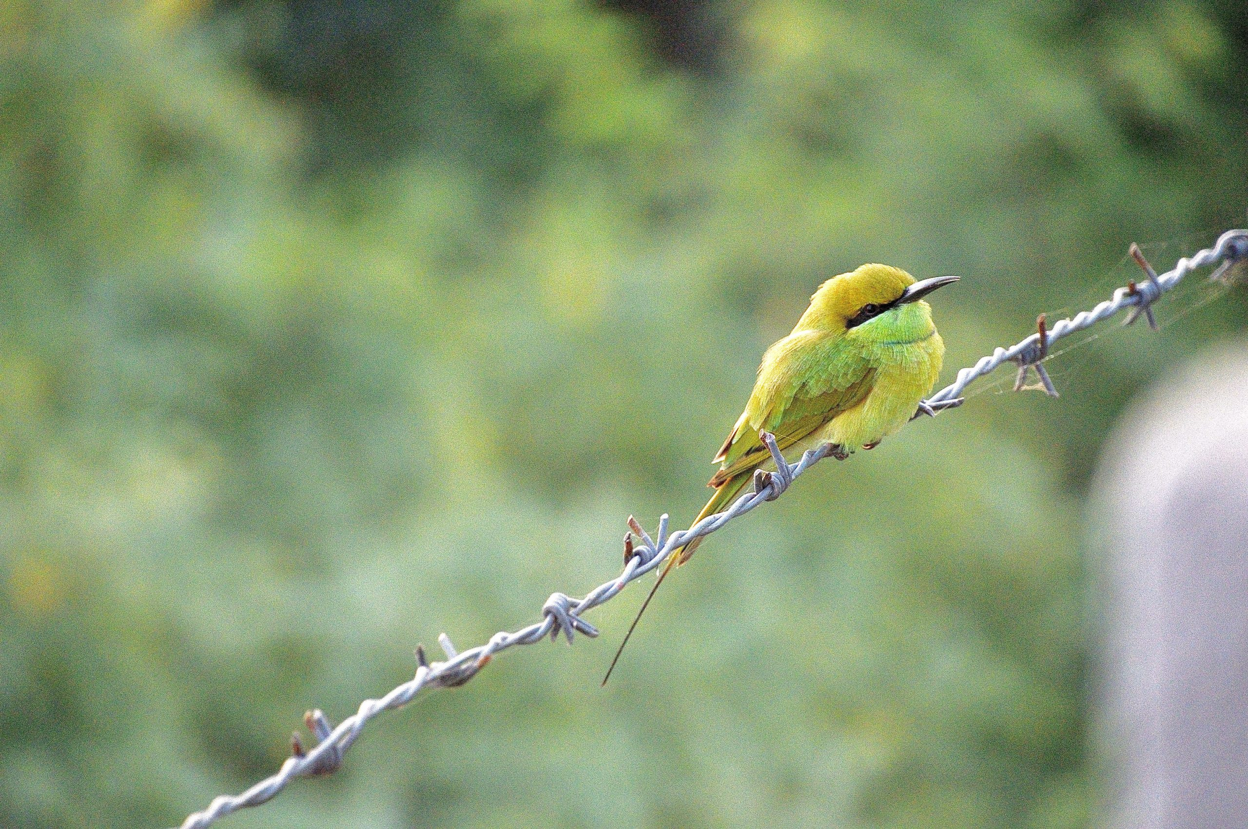 Green Bee-eater on a wire