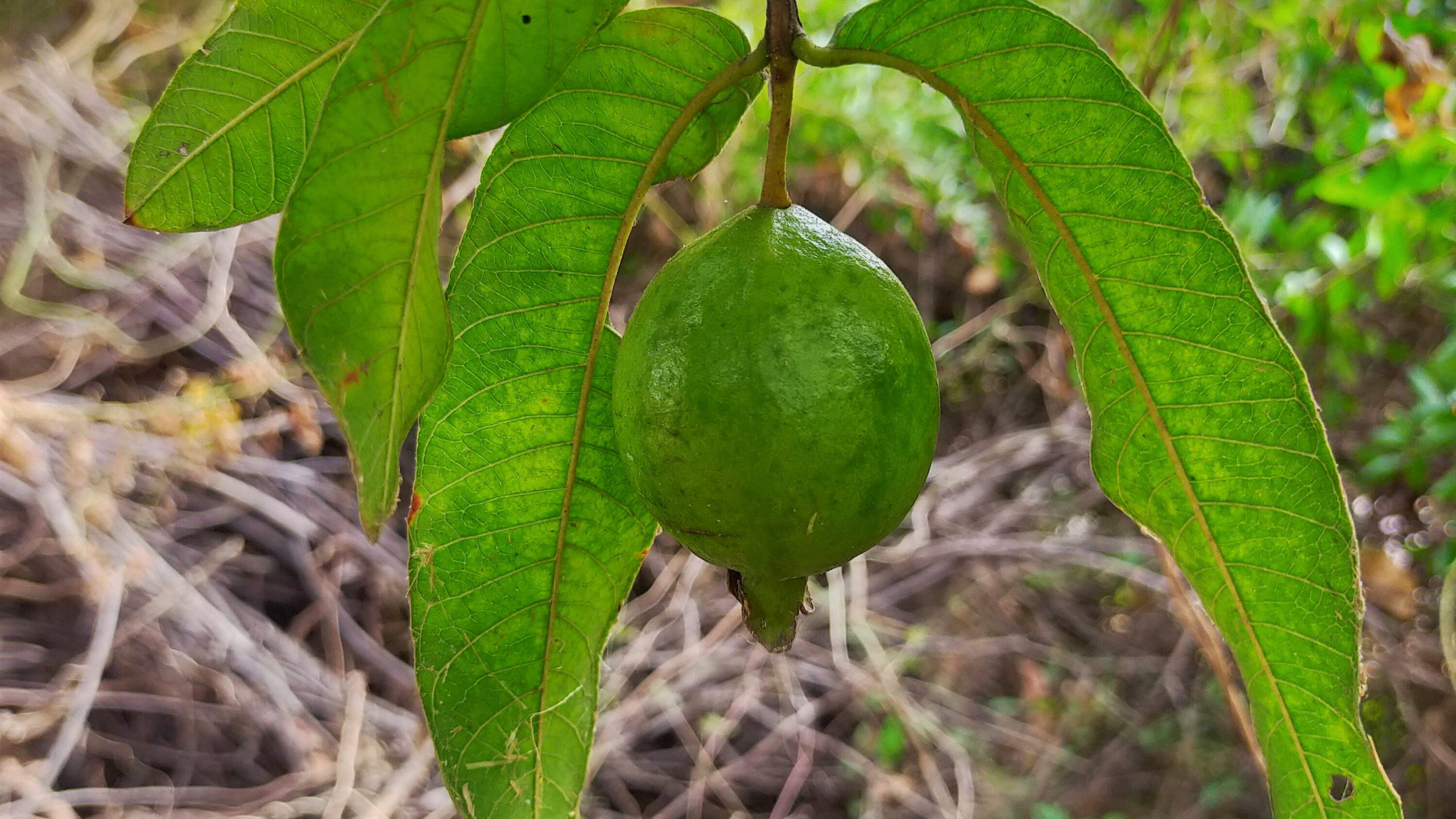 Guava fruit on its tree