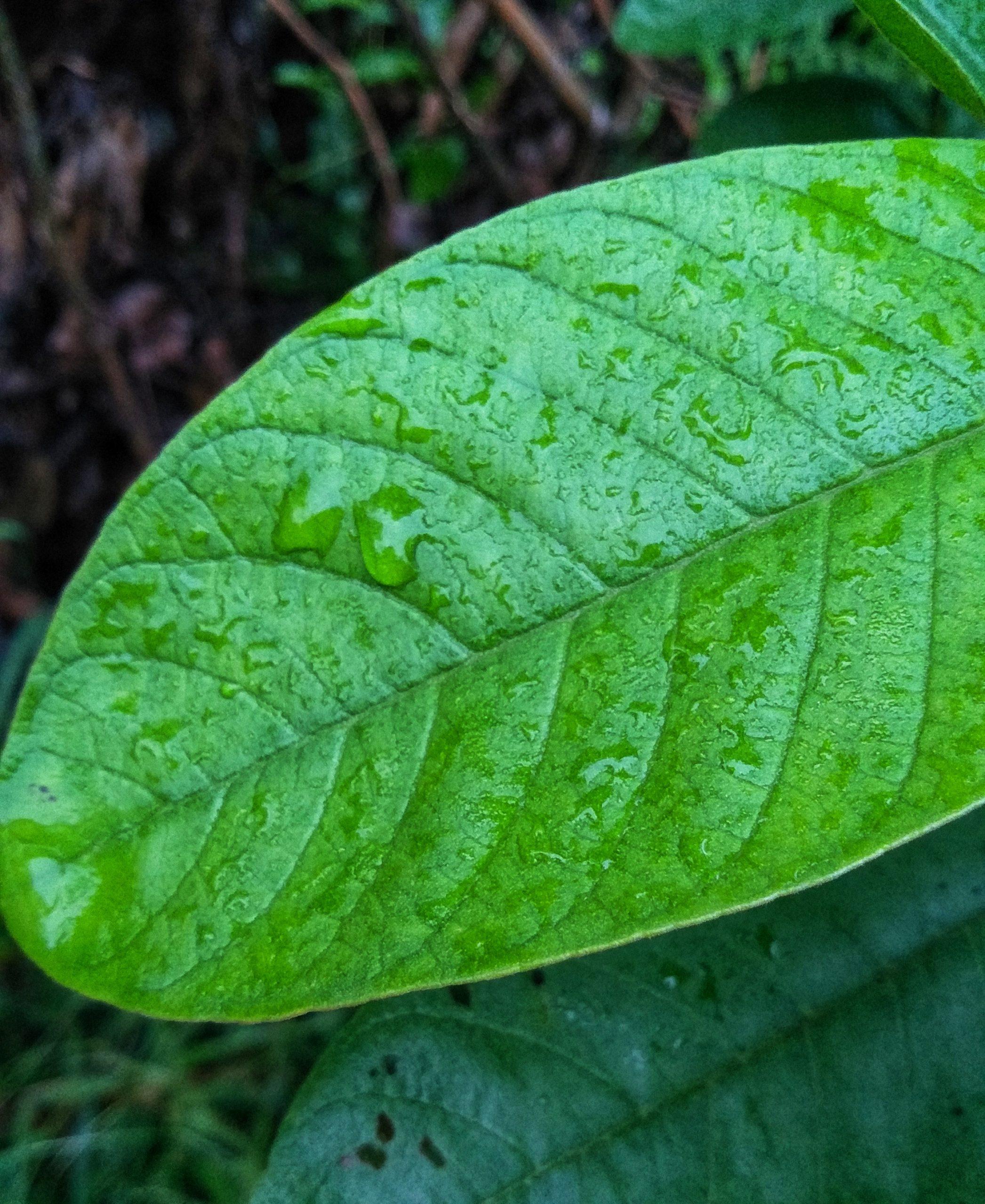 Guava tree leaf
