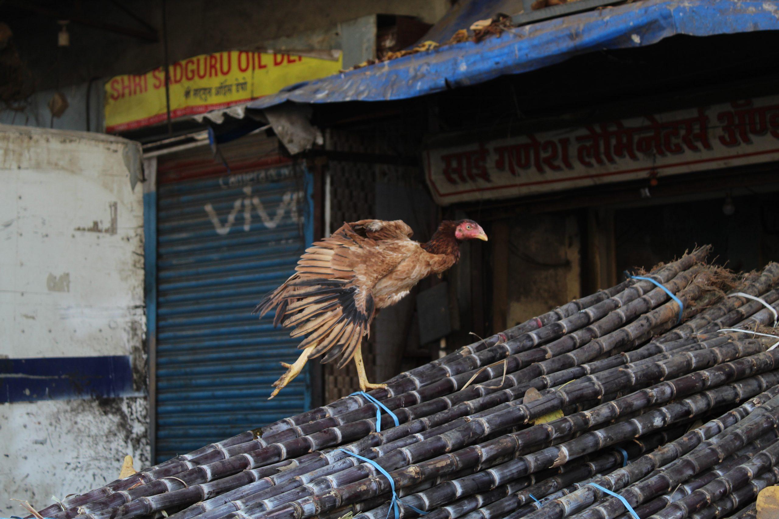 hen on sugarcane sticks