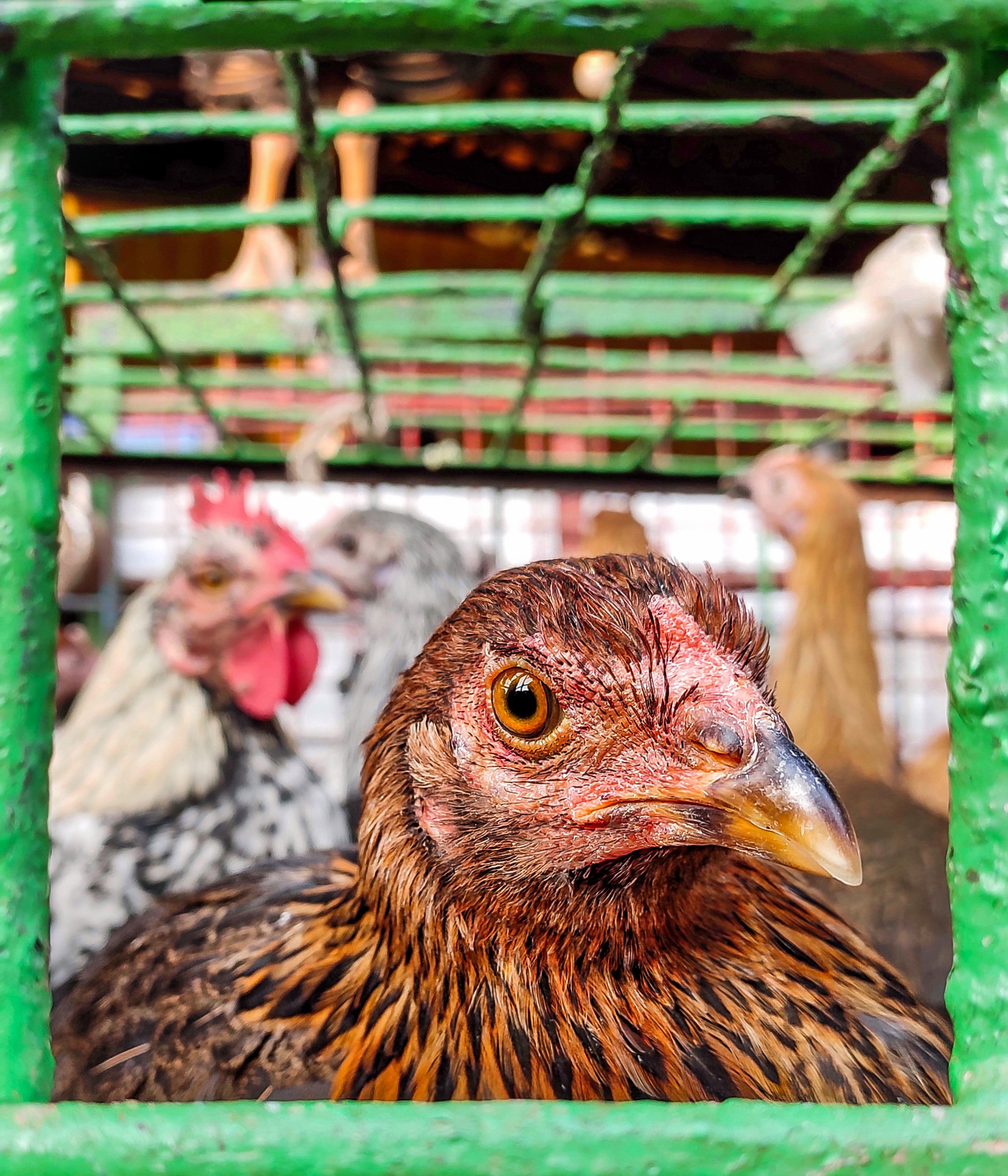 Hen in a cage