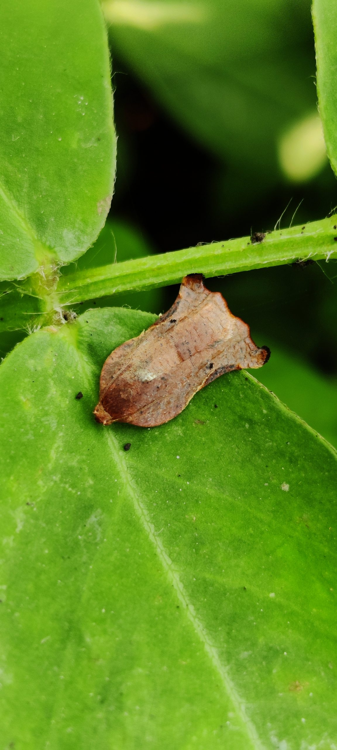 Homona moth on a leaf