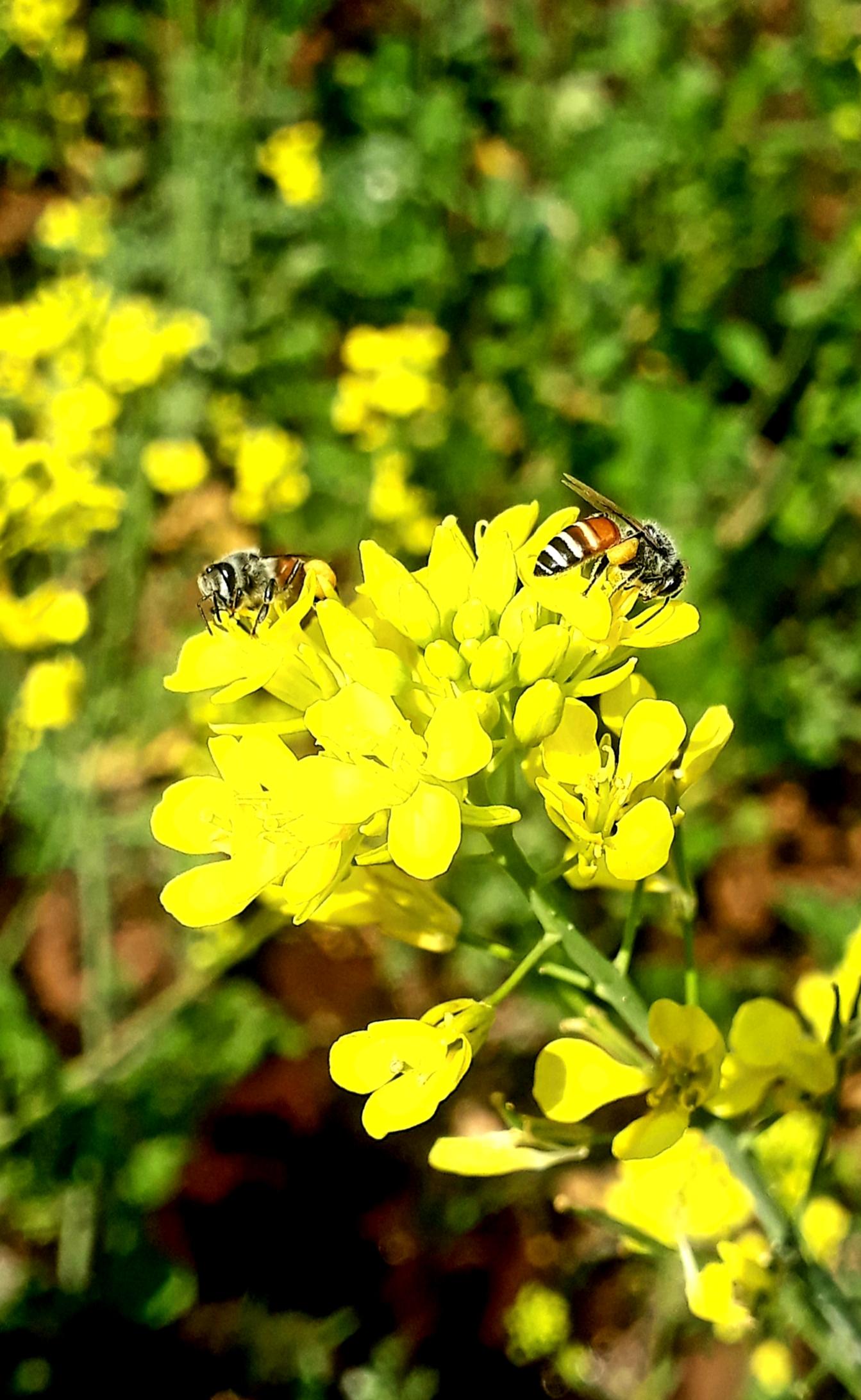 Honeybees on flowering plant