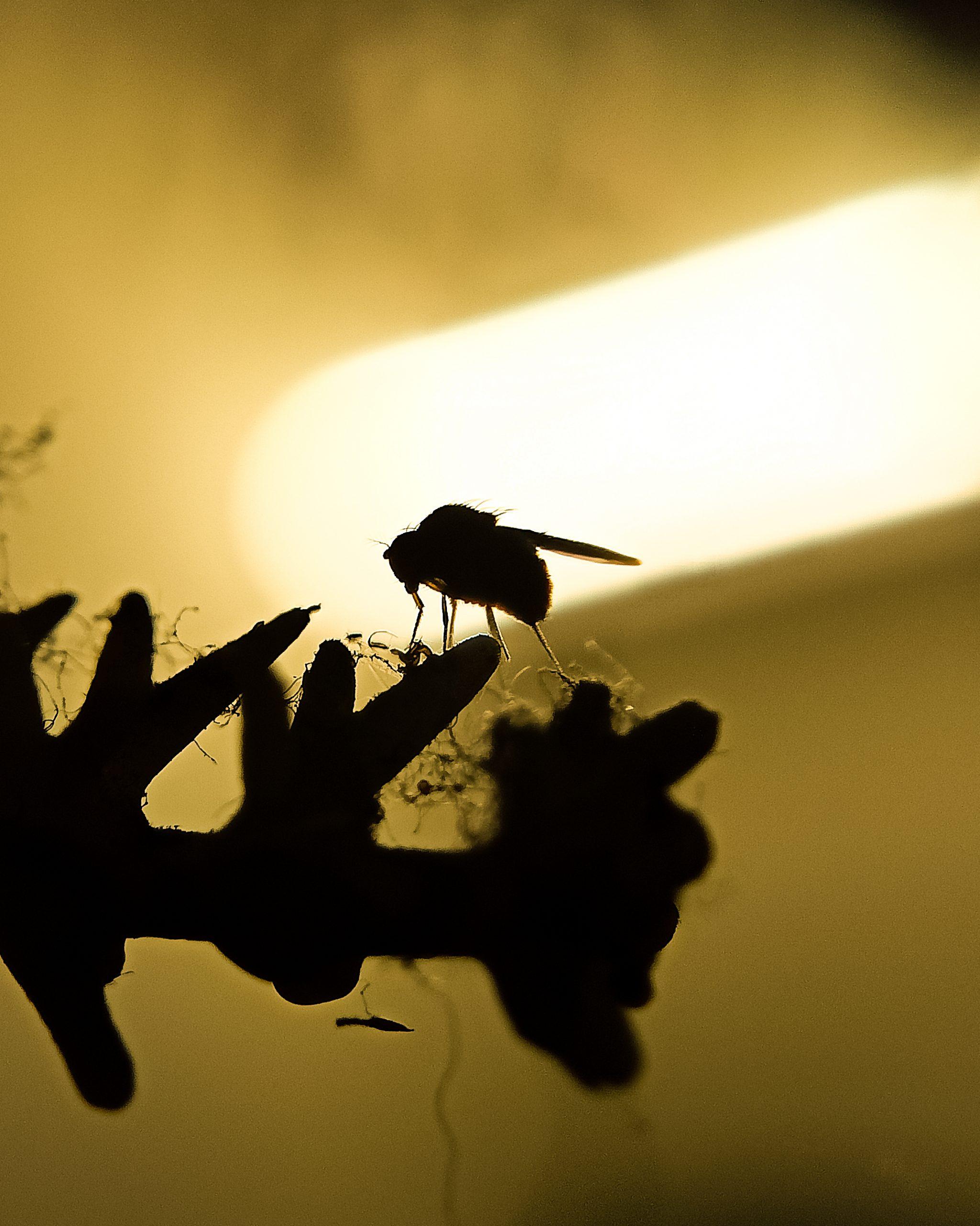 Housefly in light