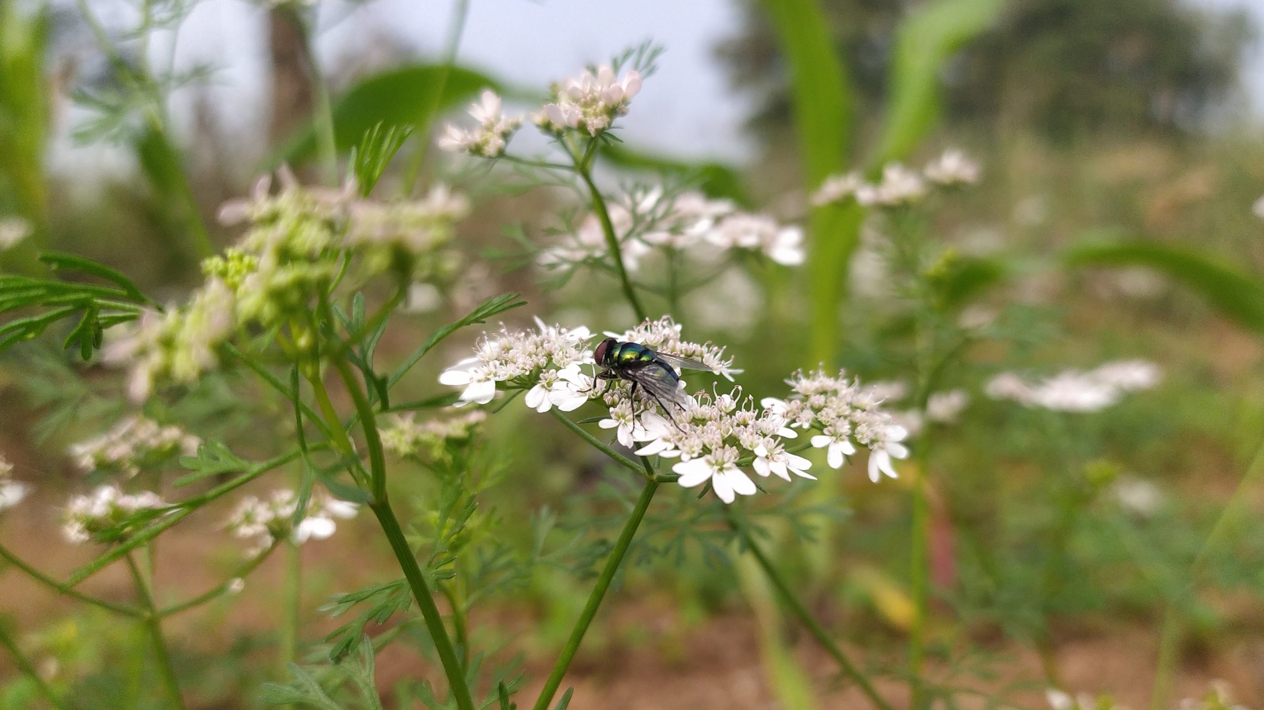 Housefly on plant