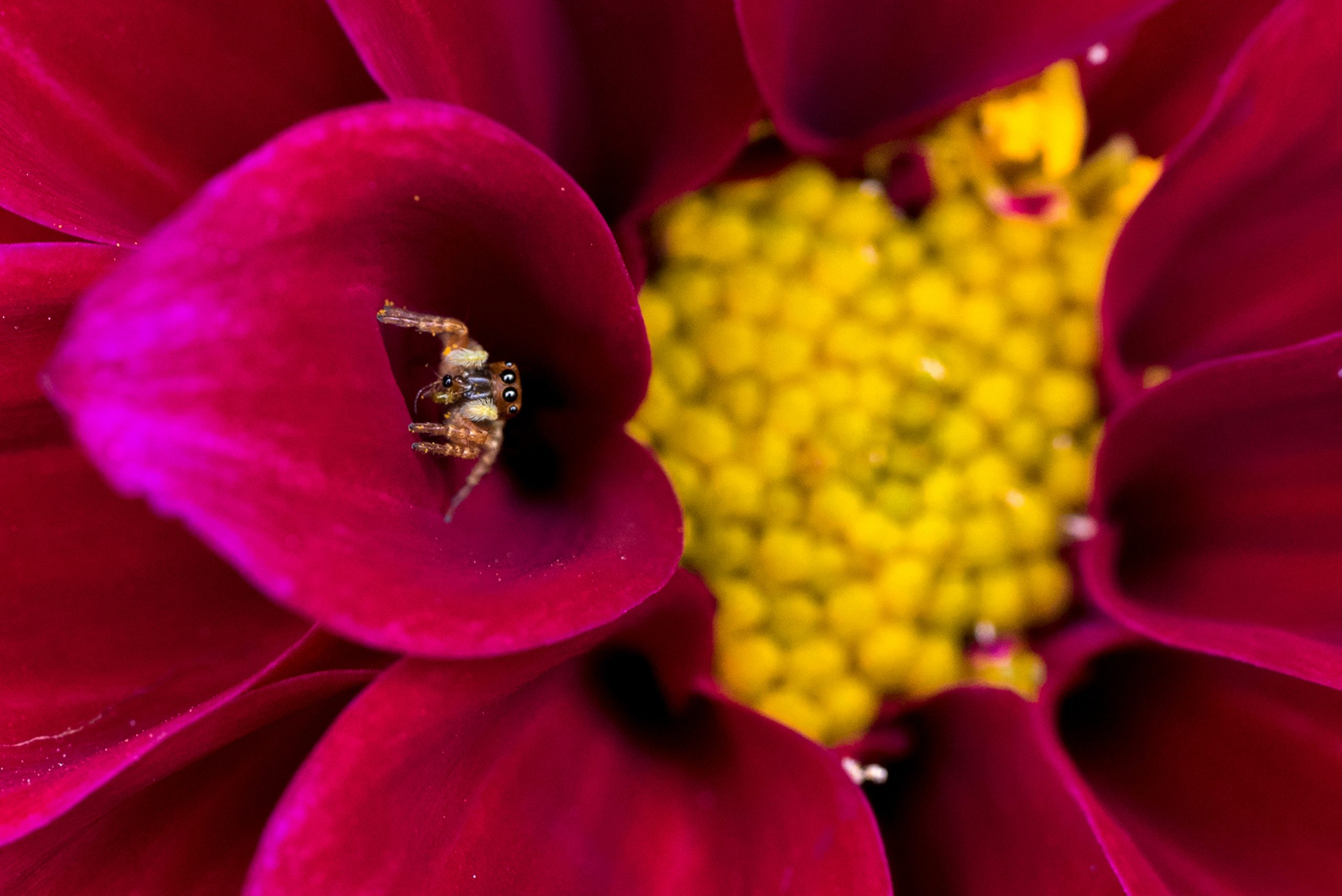 Small spider lurking in the petal of flower