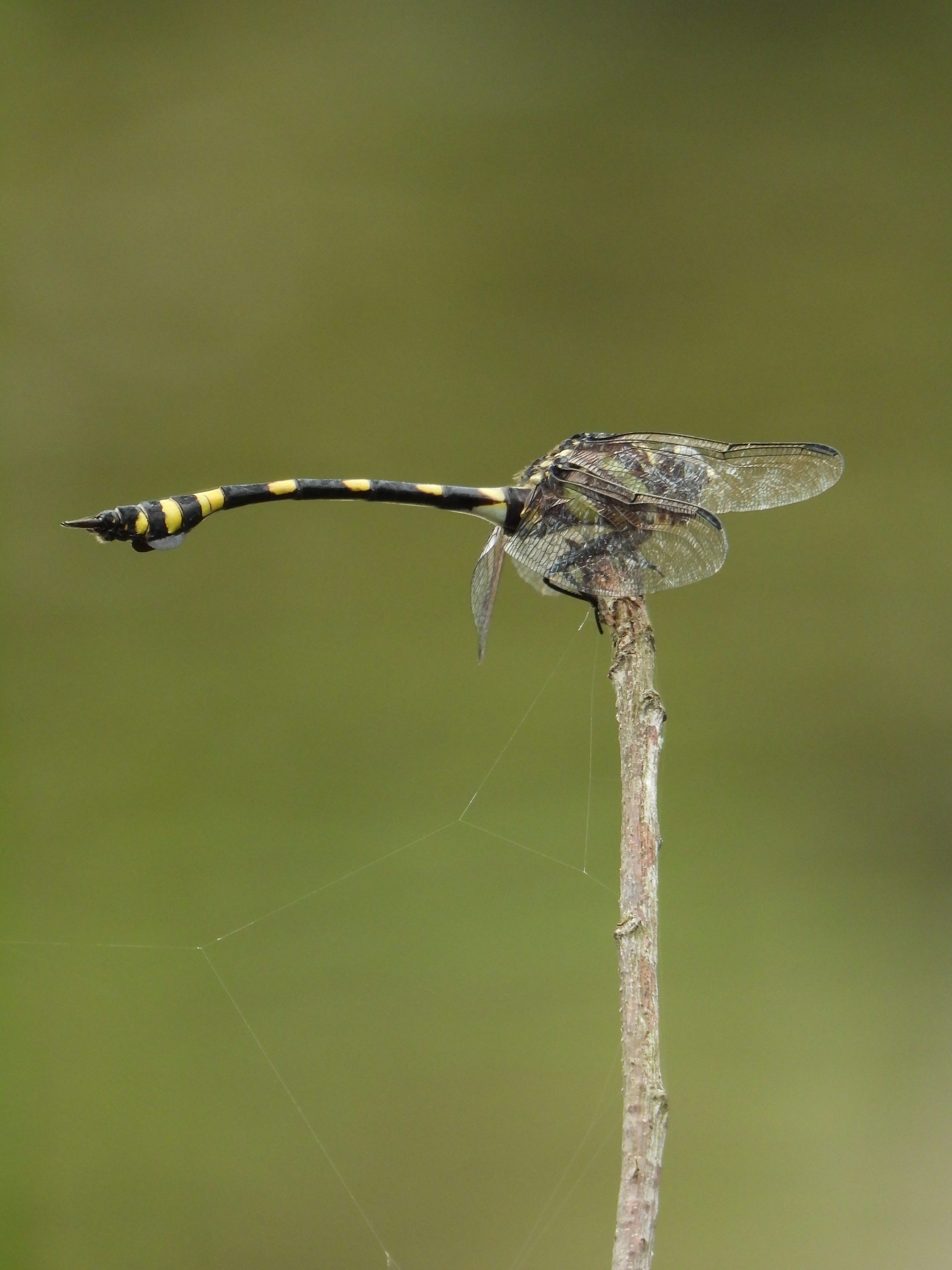 Ictinogomphus australis on a twig